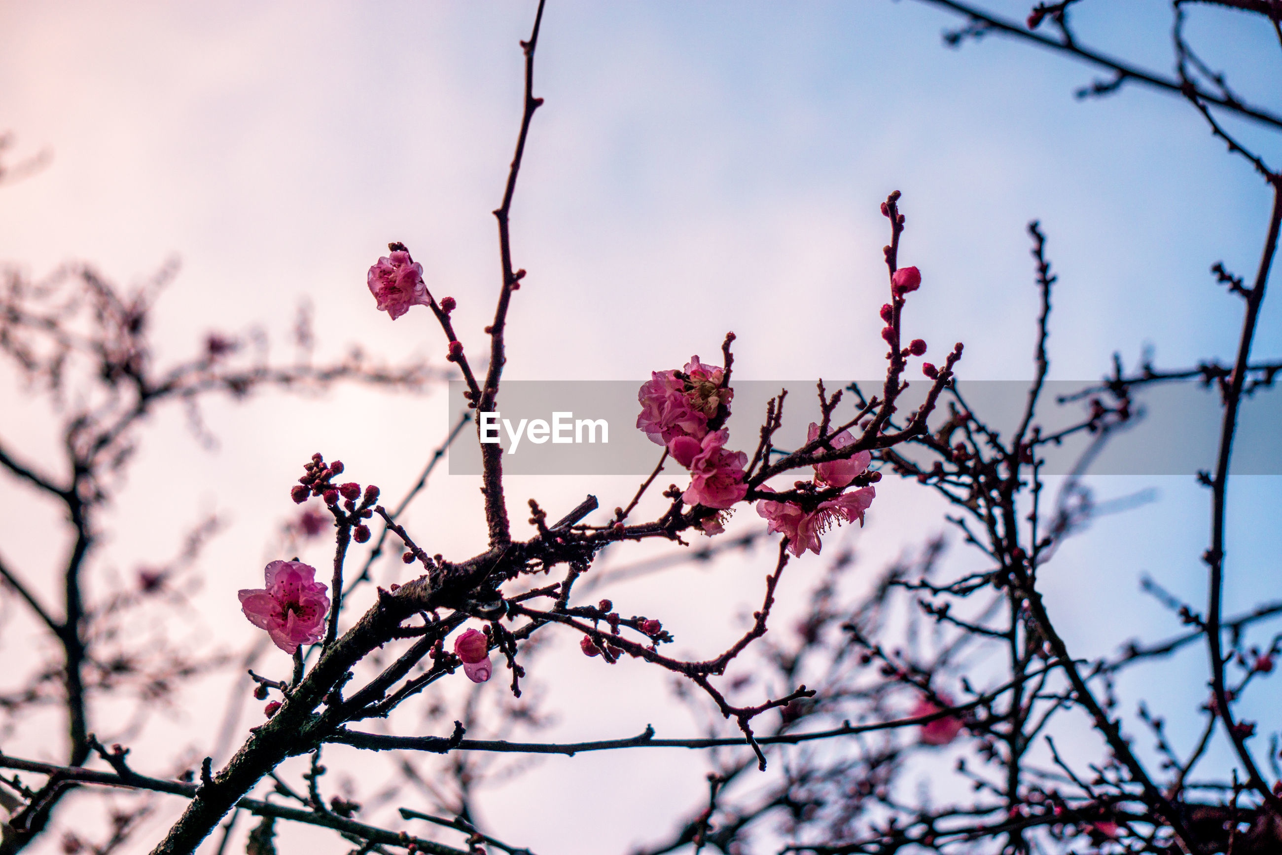 LOW ANGLE VIEW OF PINK FLOWERS ON TREE BRANCH