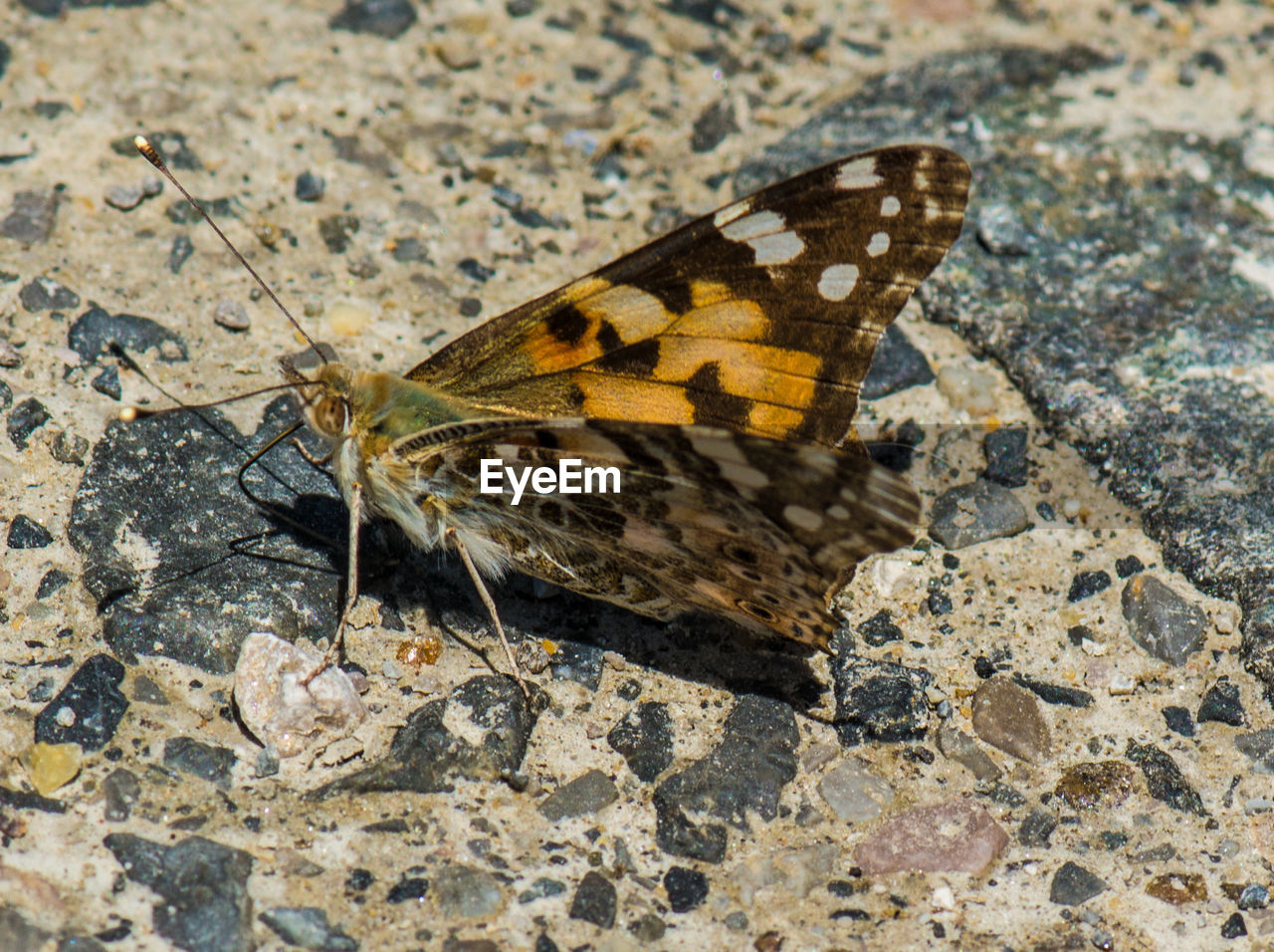 animal themes, one animal, invertebrate, animals in the wild, animal, insect, animal wildlife, animal wing, nature, butterfly - insect, no people, beauty in nature, solid, close-up, rock, day, rock - object, outdoors, high angle view, flower, butterfly