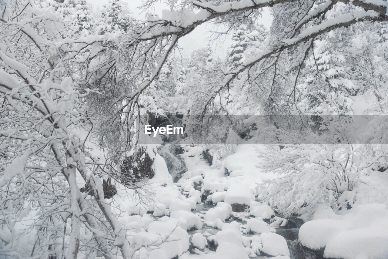 Snowcapped bare trees in forest during winter