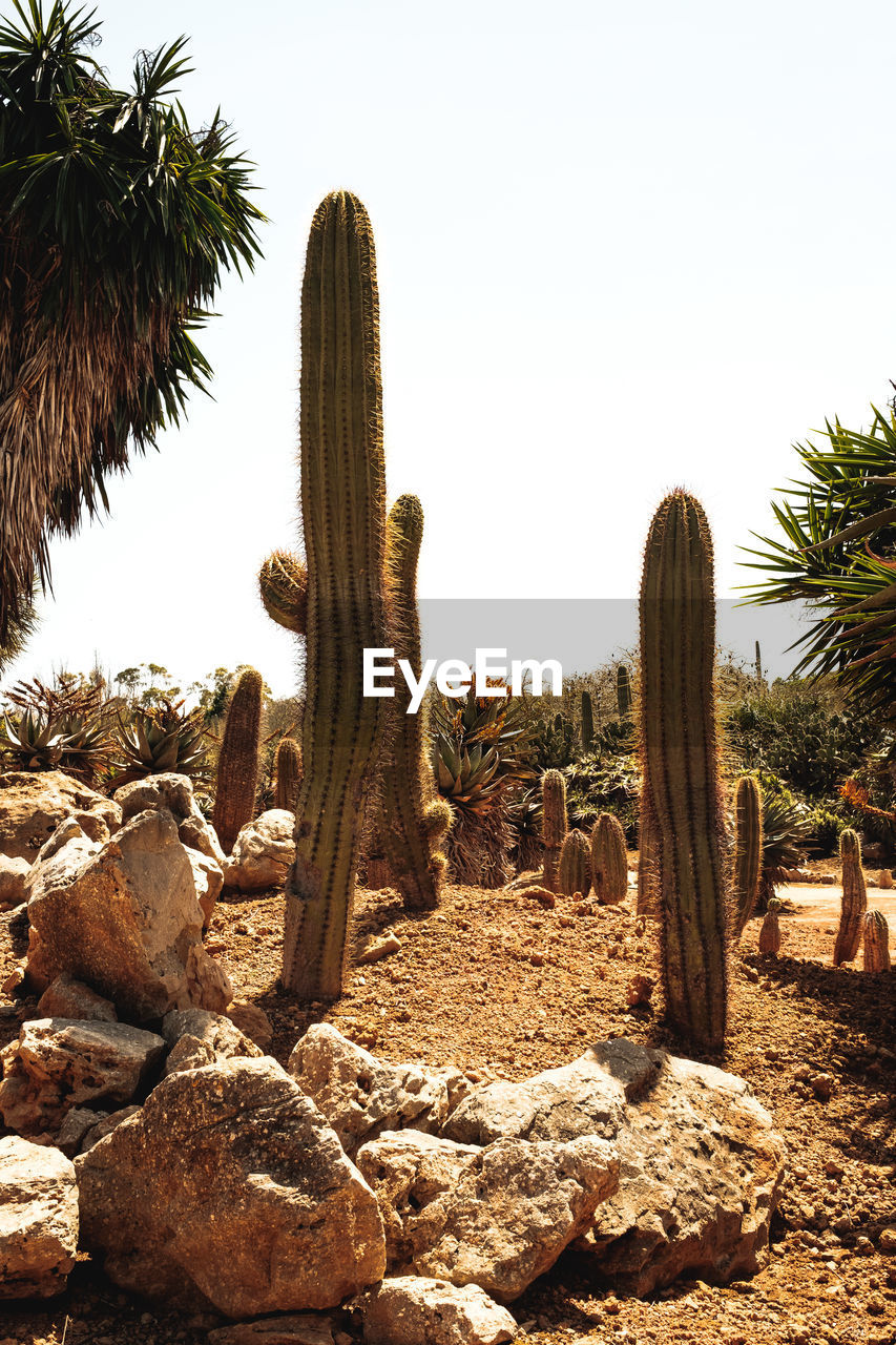 cactus, land, sky, nature, plant, succulent plant, desert, growth, tree, clear sky, no people, solid, rock, field, day, saguaro cactus, tranquility, rock - object, beauty in nature, scenics - nature, climate, outdoors, arid climate, ecosystem