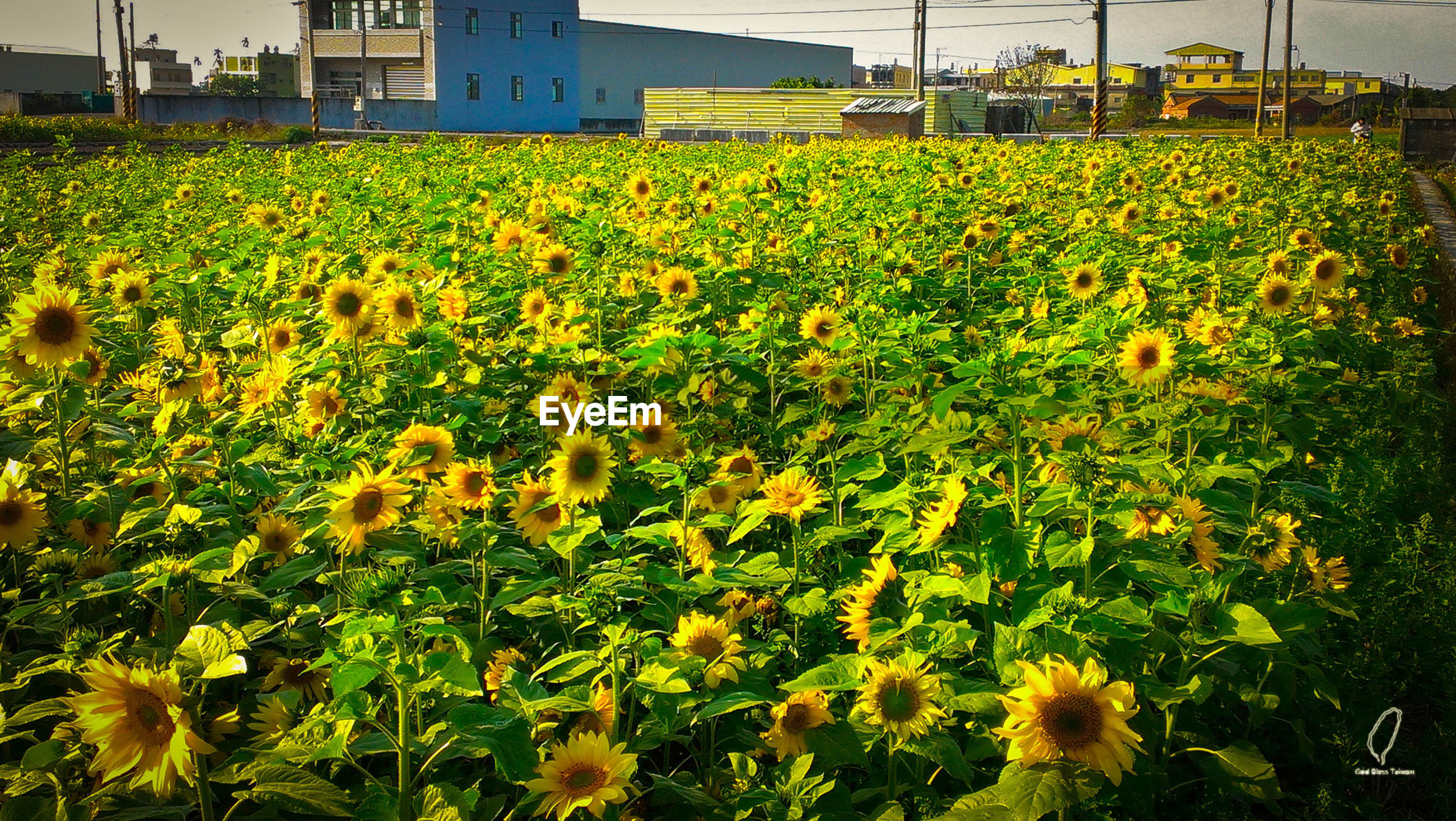flower, yellow, freshness, growth, agriculture, field, beauty in nature, fragility, rural scene, plant, nature, farm, abundance, blooming, oilseed rape, sunflower, crop, in bloom, flower head, petal