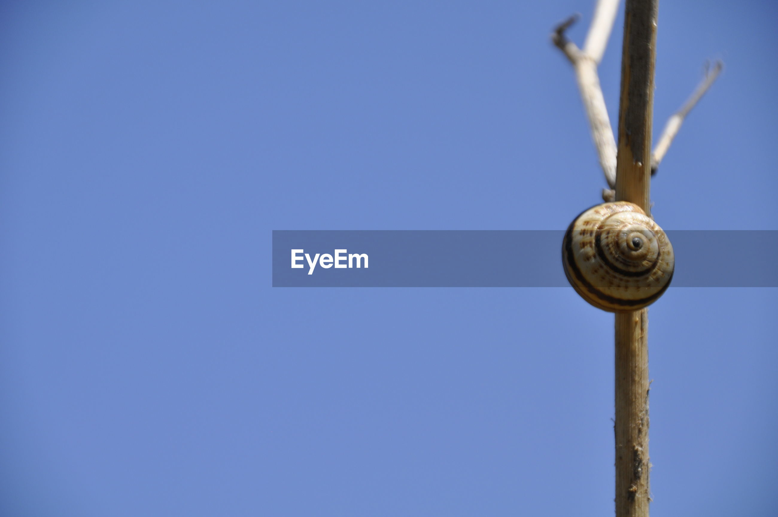 Close-up of snail on stick against clear blue sky