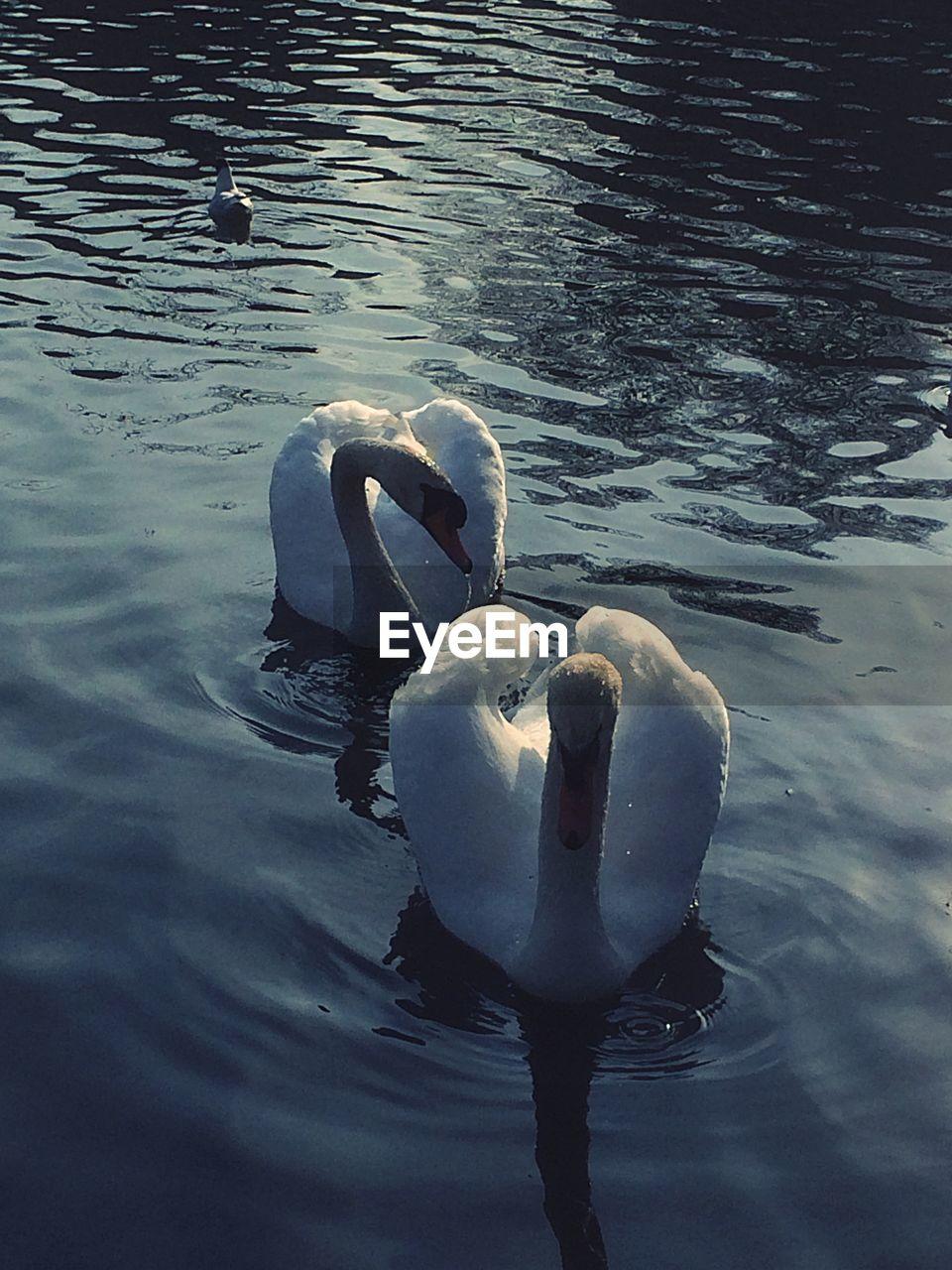 swan, animal themes, animals in the wild, water, reflection, bird, lake, swimming, water bird, one animal, no people, animal wildlife, rippled, day, outdoors, nature, beak, beauty in nature