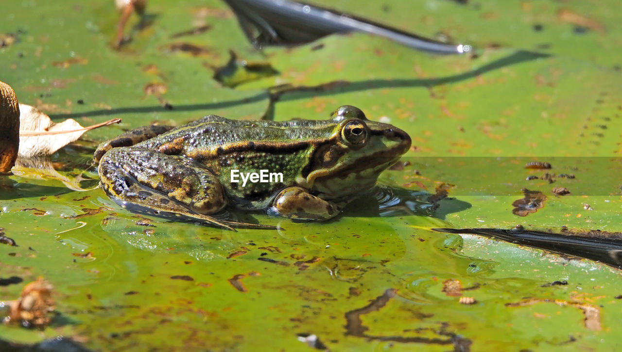 animal, animal themes, animals in the wild, vertebrate, animal wildlife, water, lake, one animal, amphibian, nature, frog, green color, swimming, leaf, reptile, plant part, day, no people, outdoors, leaves, floating on water, swamp