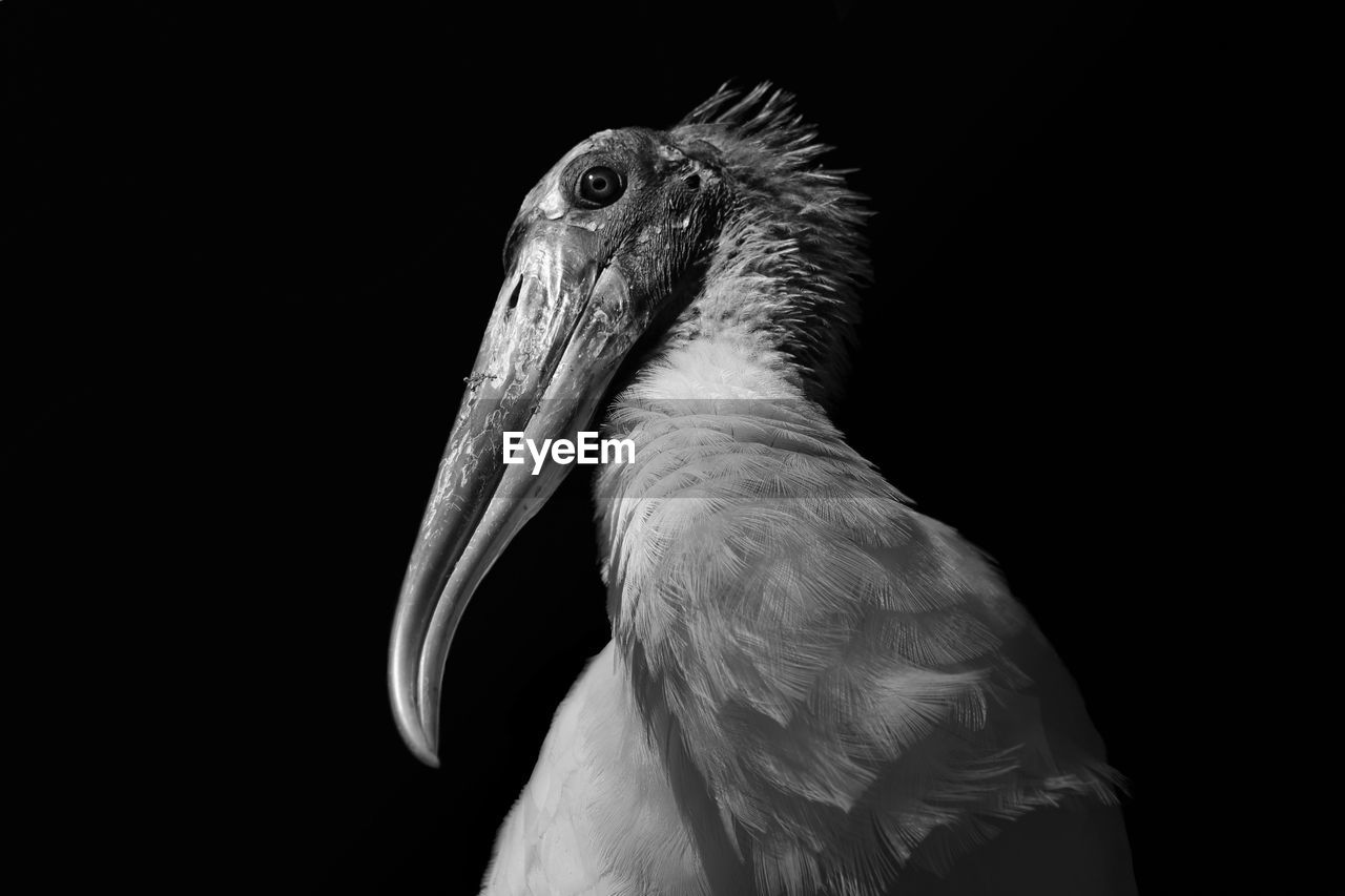 Close-Up Of Wood Stork Against Black Background