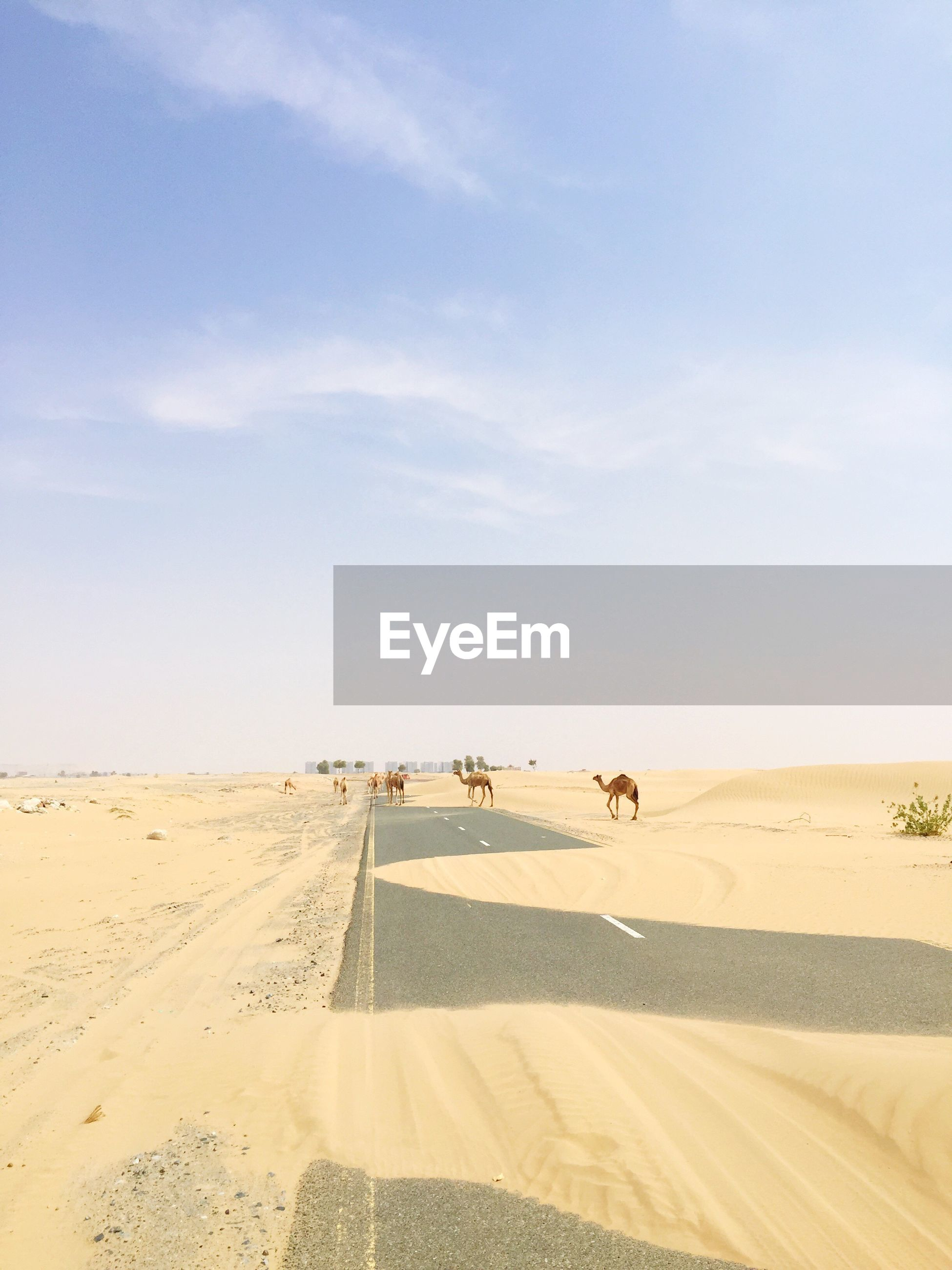 View of camels on sand dune
