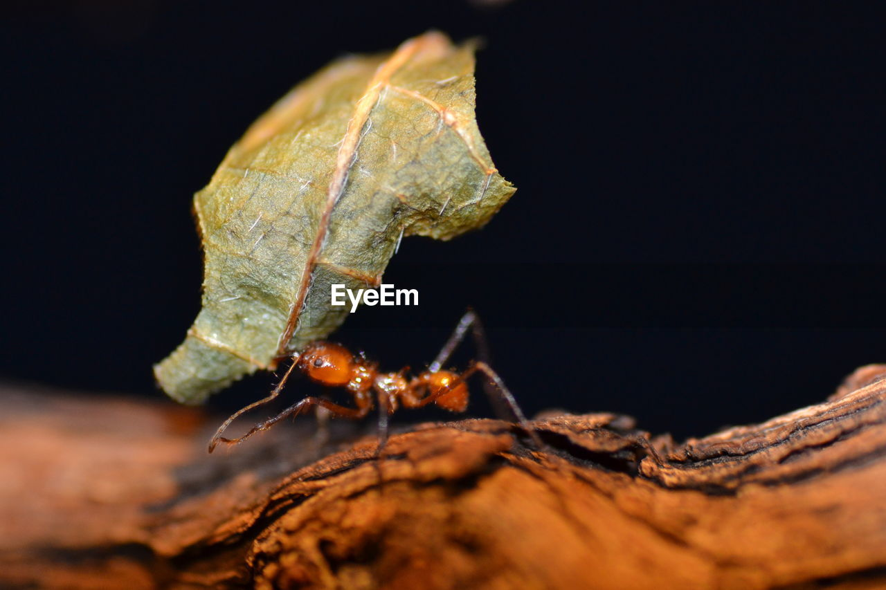 Close-Up Of Ant Carrying Leaf On Wood
