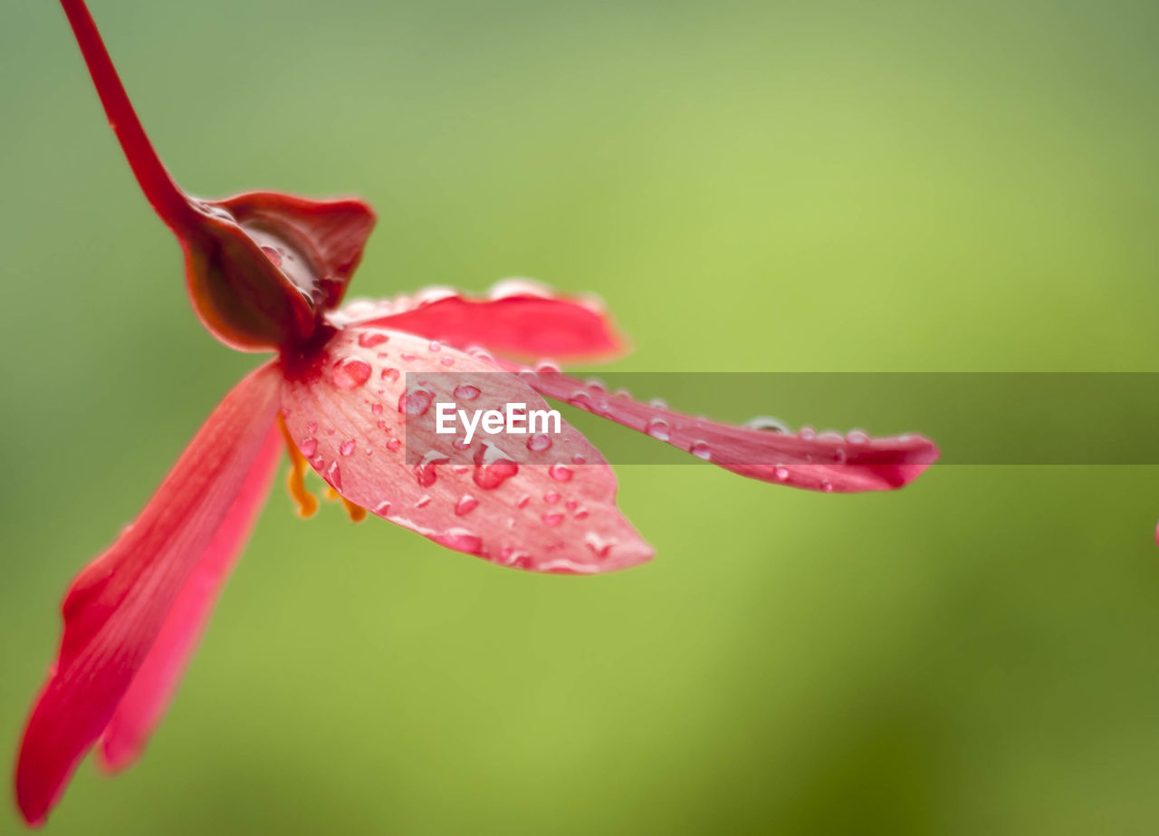CLOSE-UP OF WATER DROPS ON PINK DAY