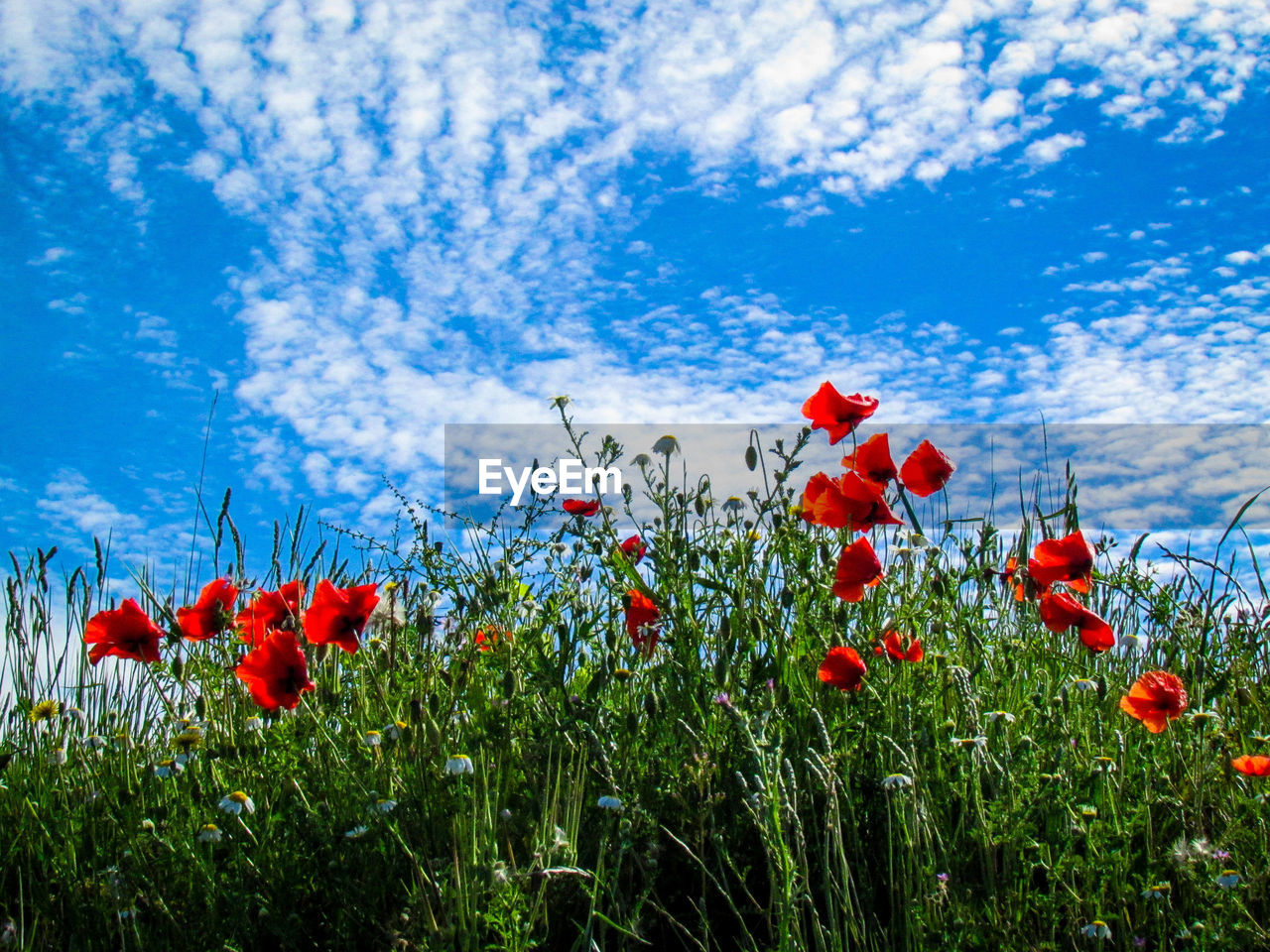 Low Angle View Of Poppies Blooming Against Sky
