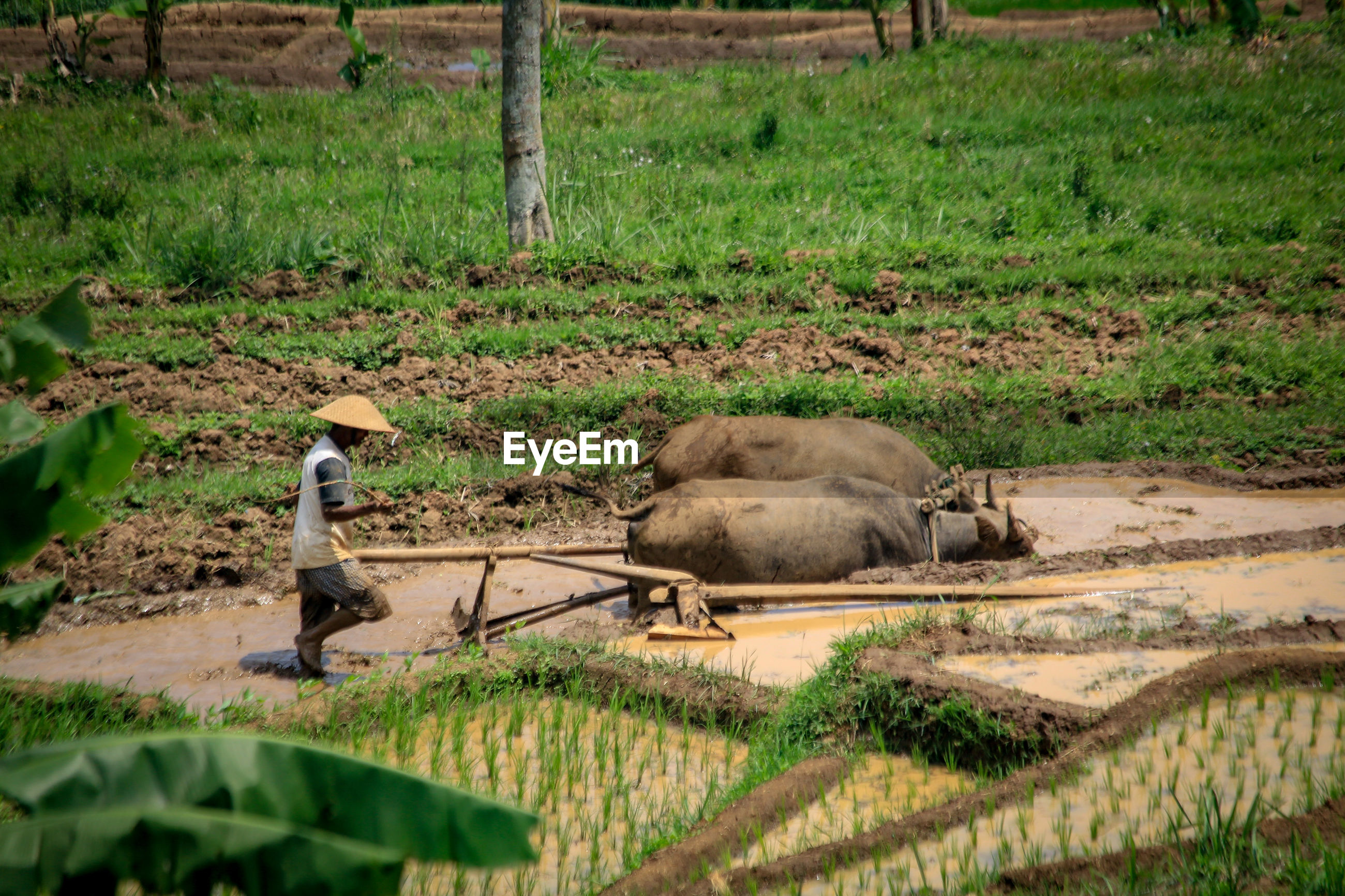Side view of farmer with buffaloes working in farm