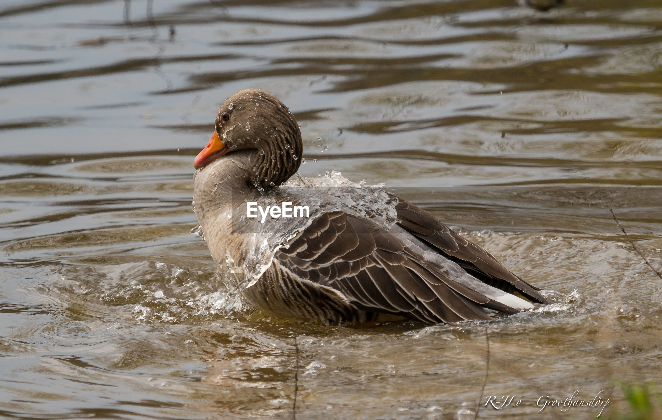 Goose swimming in pond