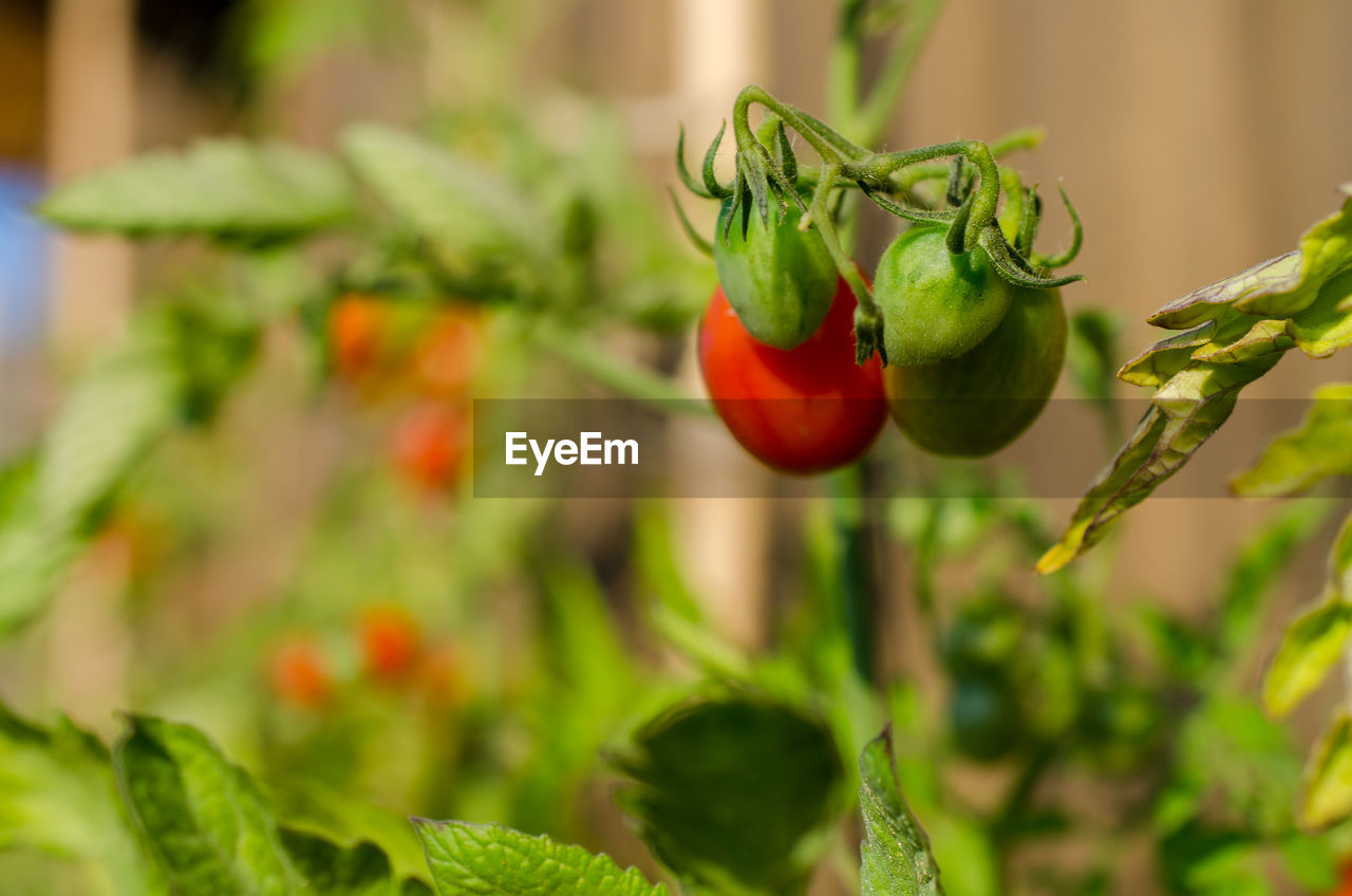 food, food and drink, healthy eating, vegetable, red, freshness, wellbeing, growth, green color, pepper, fruit, plant, no people, tomato, close-up, spice, leaf, day, plant part, nature, organic, ripe