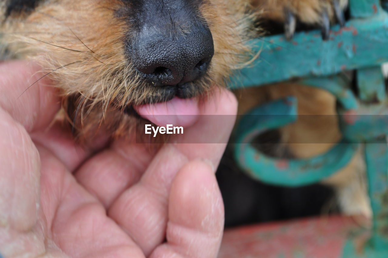 one animal, mammal, domestic animals, pets, domestic, dog, canine, animal body part, vertebrate, close-up, no people, animal tongue, focus on foreground, facial expression, sticking out tongue, pink color, mouth open, animal nose, animal mouth, snout