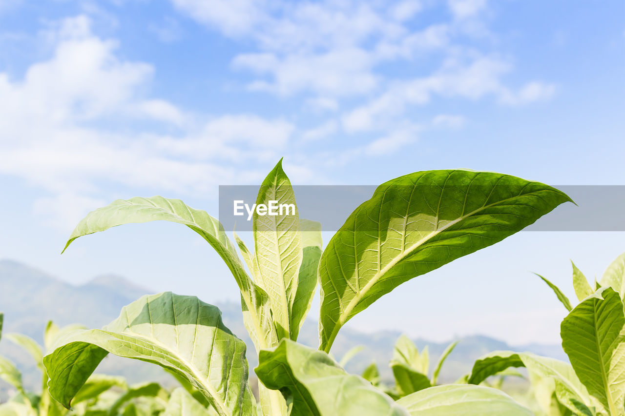 leaf, plant part, growth, plant, green color, nature, beauty in nature, sky, close-up, cloud - sky, day, no people, focus on foreground, leaves, outdoors, tranquility, sunlight, leaf vein, freshness, agriculture, tea leaves