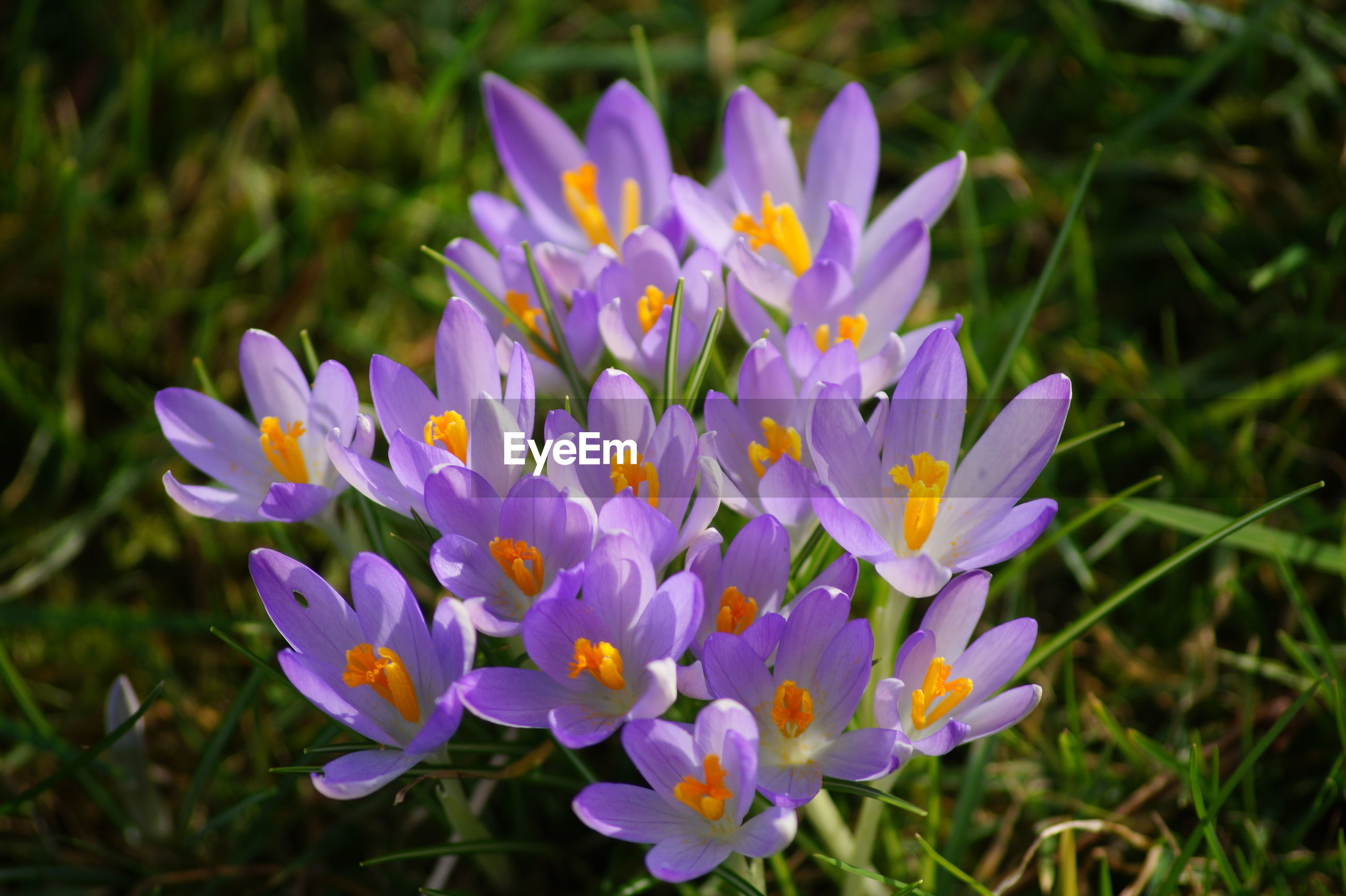 flower, petal, nature, growth, purple, plant, beauty in nature, fragility, freshness, flower head, focus on foreground, blooming, outdoors, no people, day, close-up, crocus