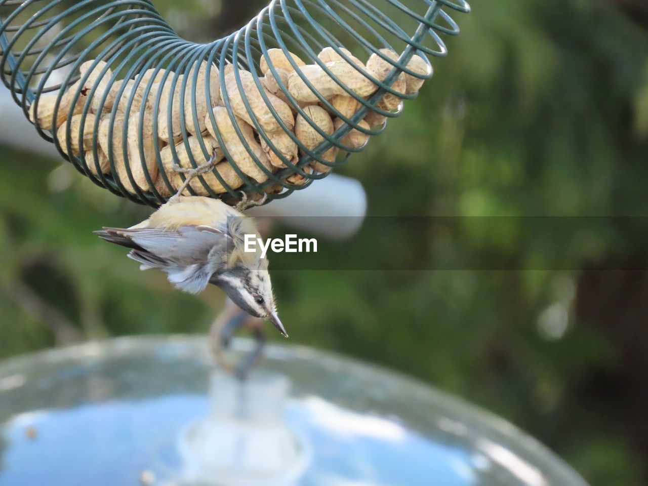 animal themes, vertebrate, animal, bird, animals in the wild, animal wildlife, one animal, day, nature, no people, focus on foreground, plant, flying, spread wings, selective focus, beauty in nature, tree, close-up, outdoors, leaf, mouth open