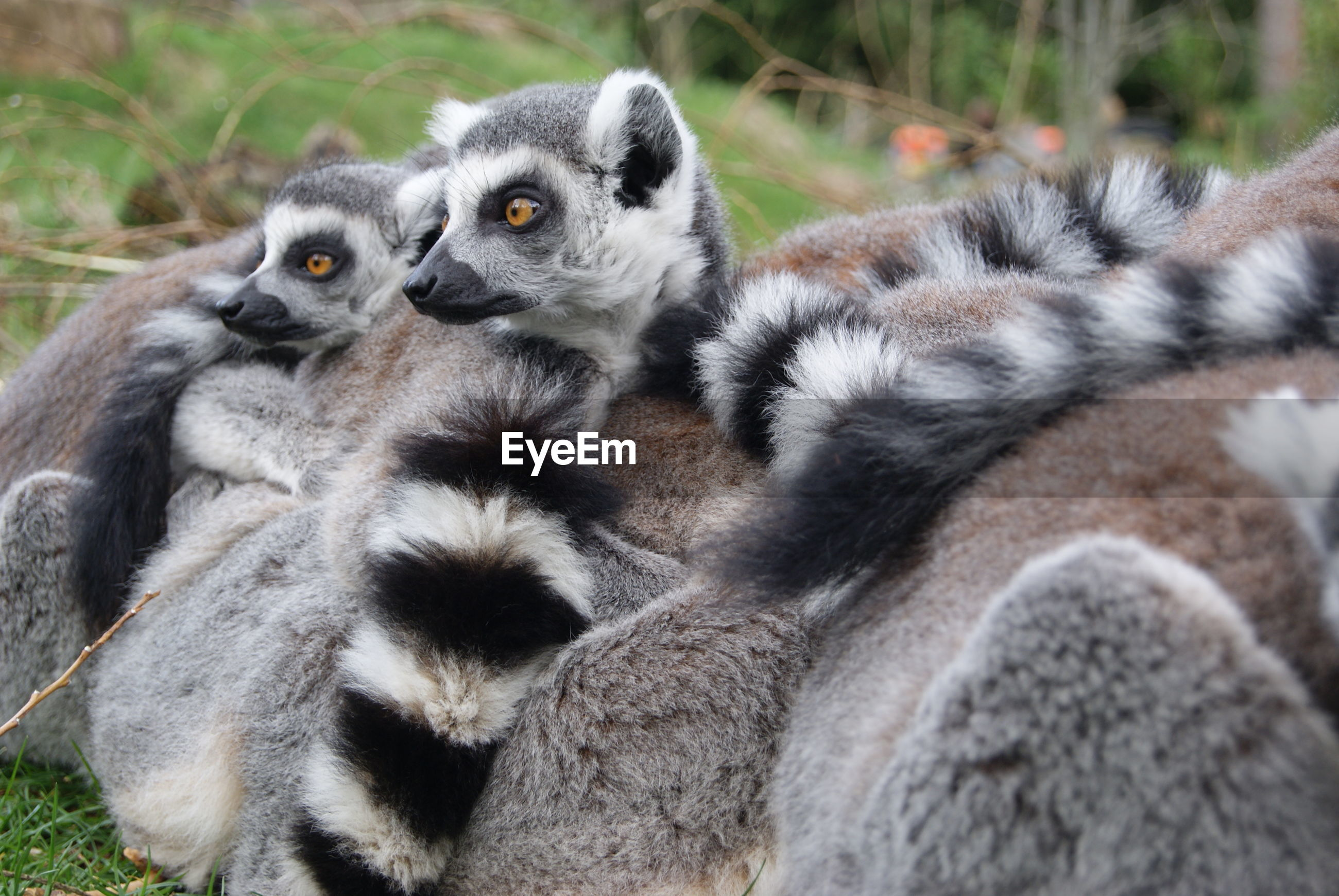 Close-up of lemurs in zoo