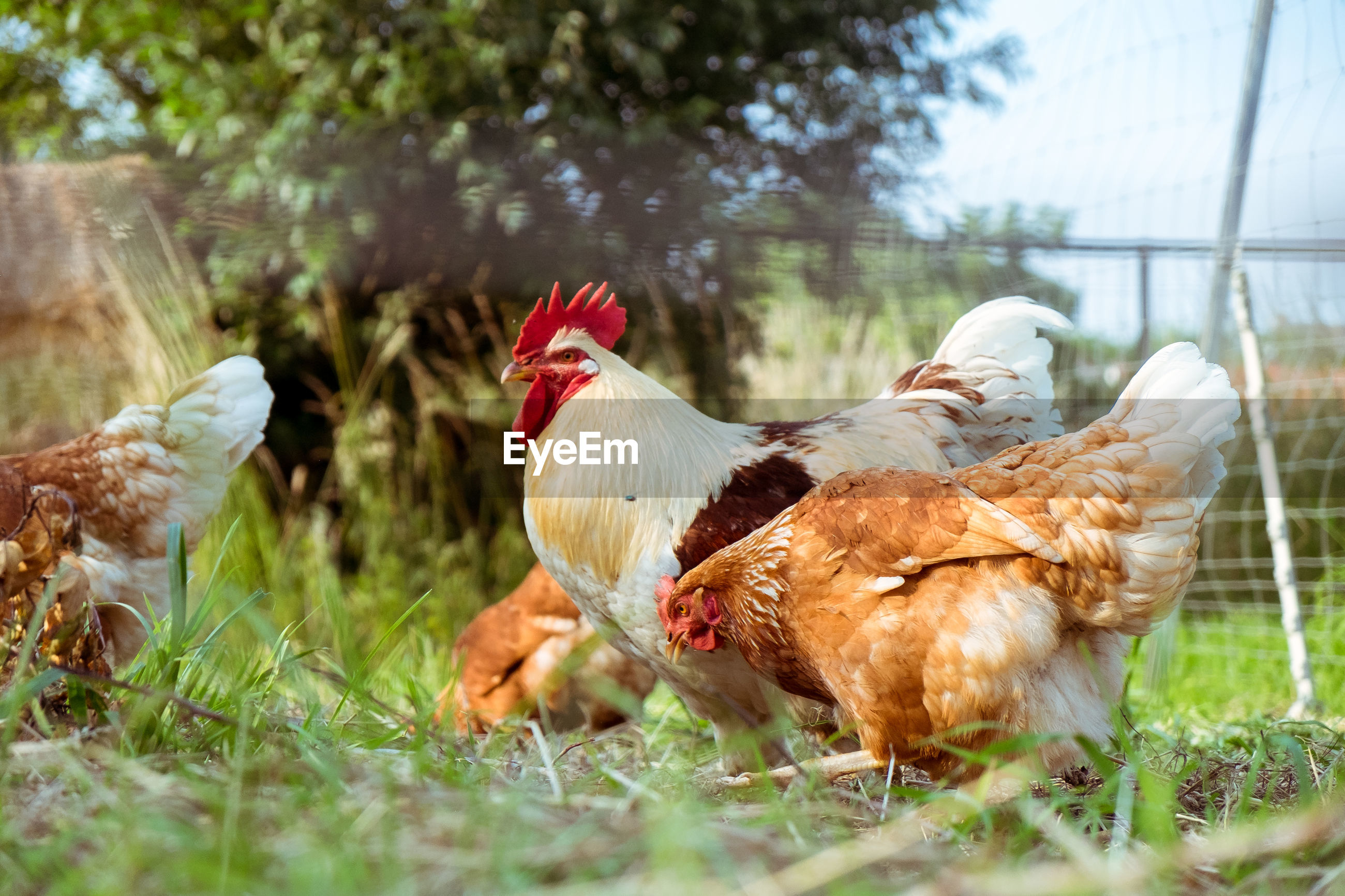Rooster and hens on grassy field