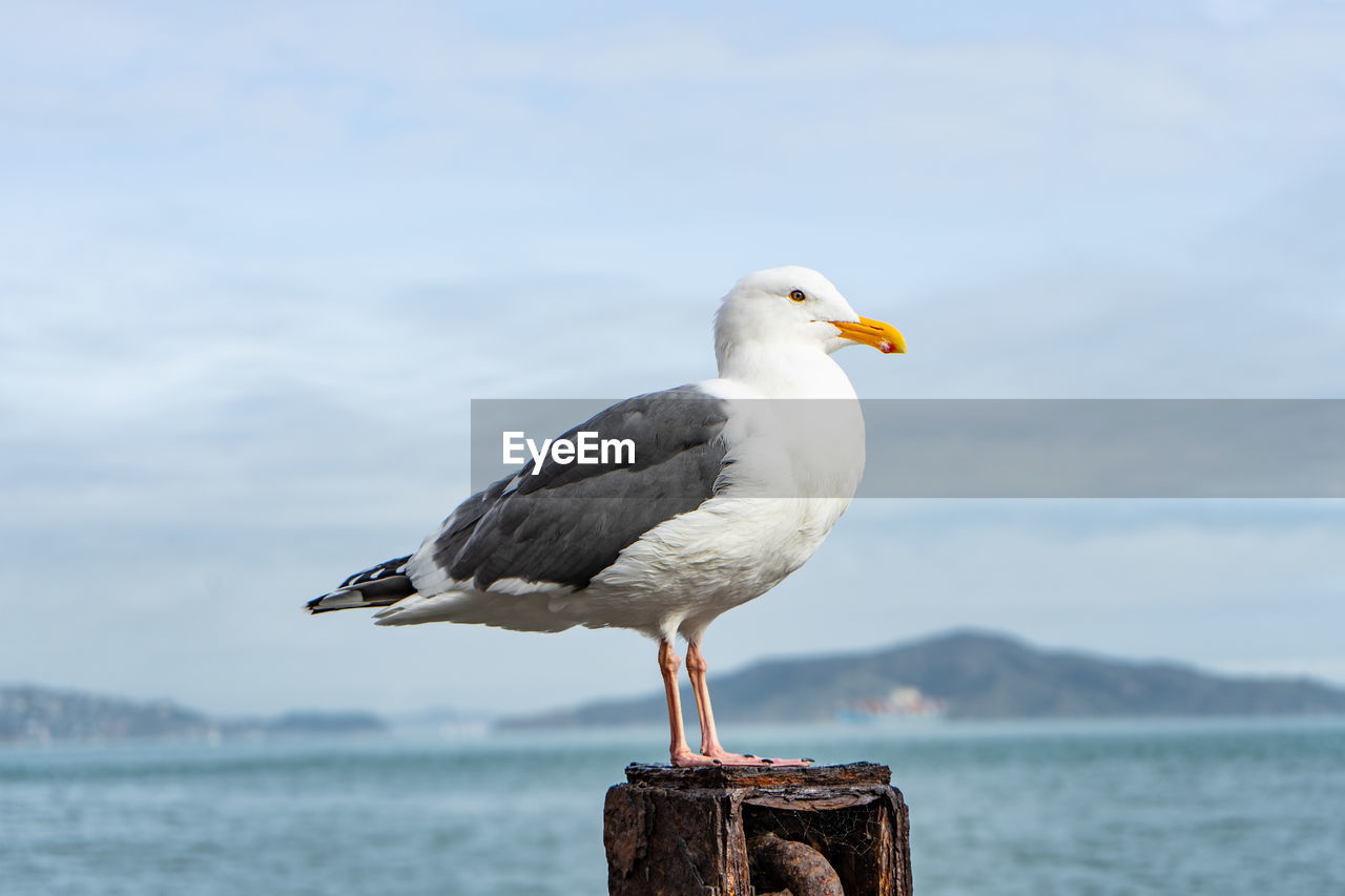 bird, vertebrate, animal wildlife, animal, animal themes, perching, water, one animal, seagull, focus on foreground, animals in the wild, sea, day, no people, sky, nature, post, wood - material, beauty in nature, wooden post, beak
