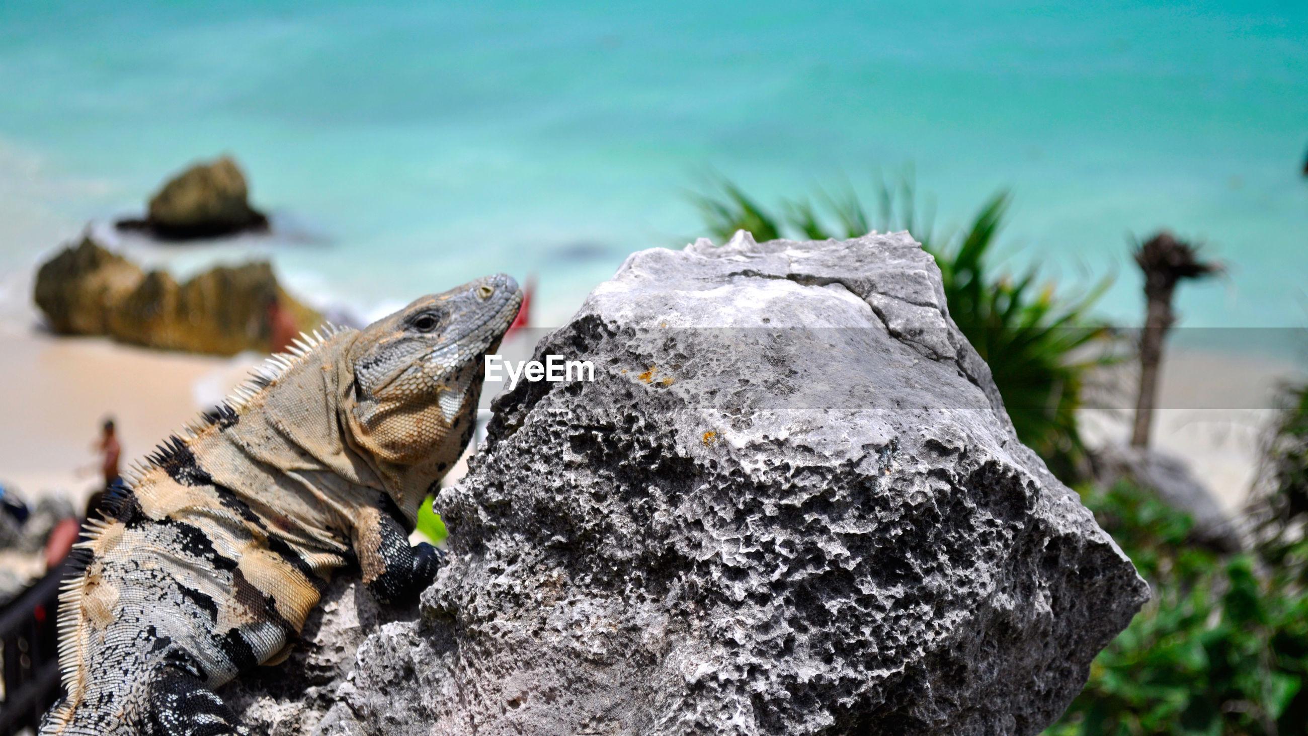 Iguana on rock during sunny day