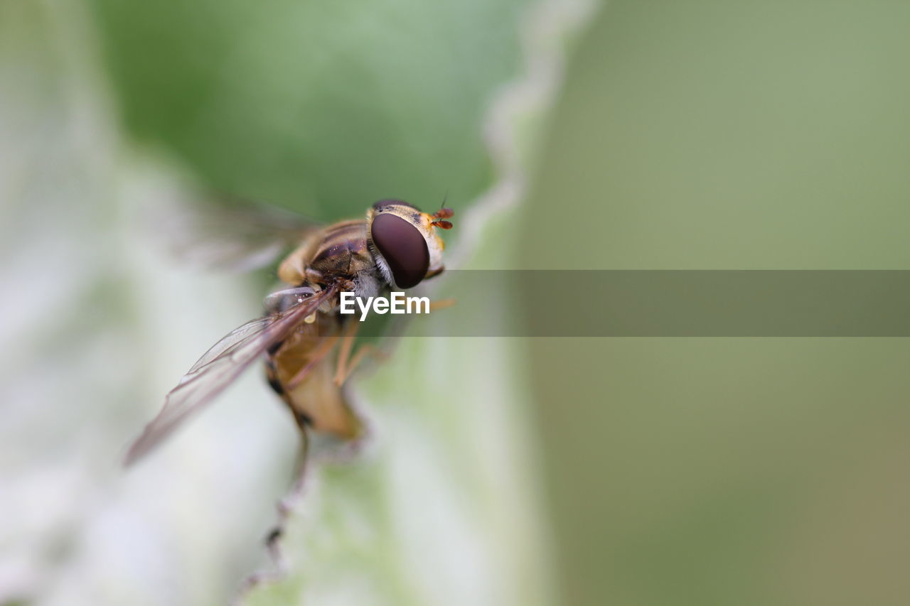 Close-Up Of Hoverfly On Leaf