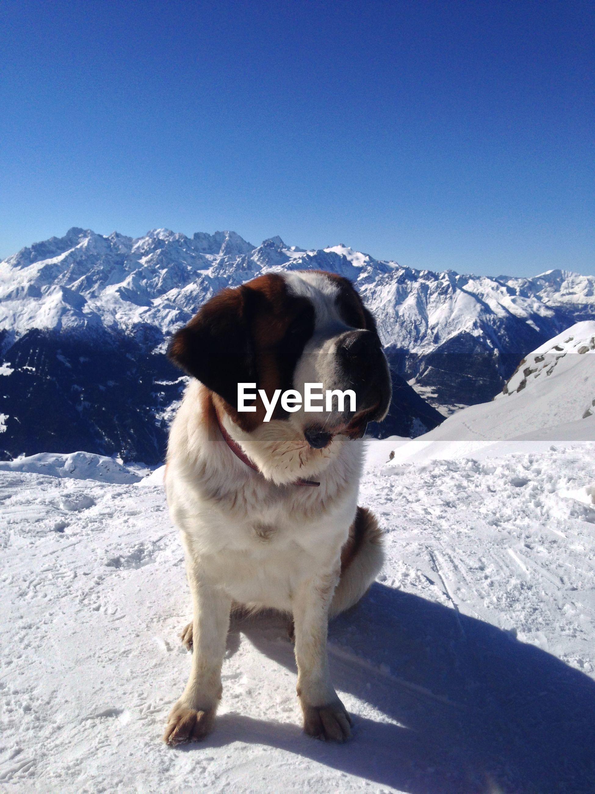 Saint bernard against snow covered mountains against clear blue sky