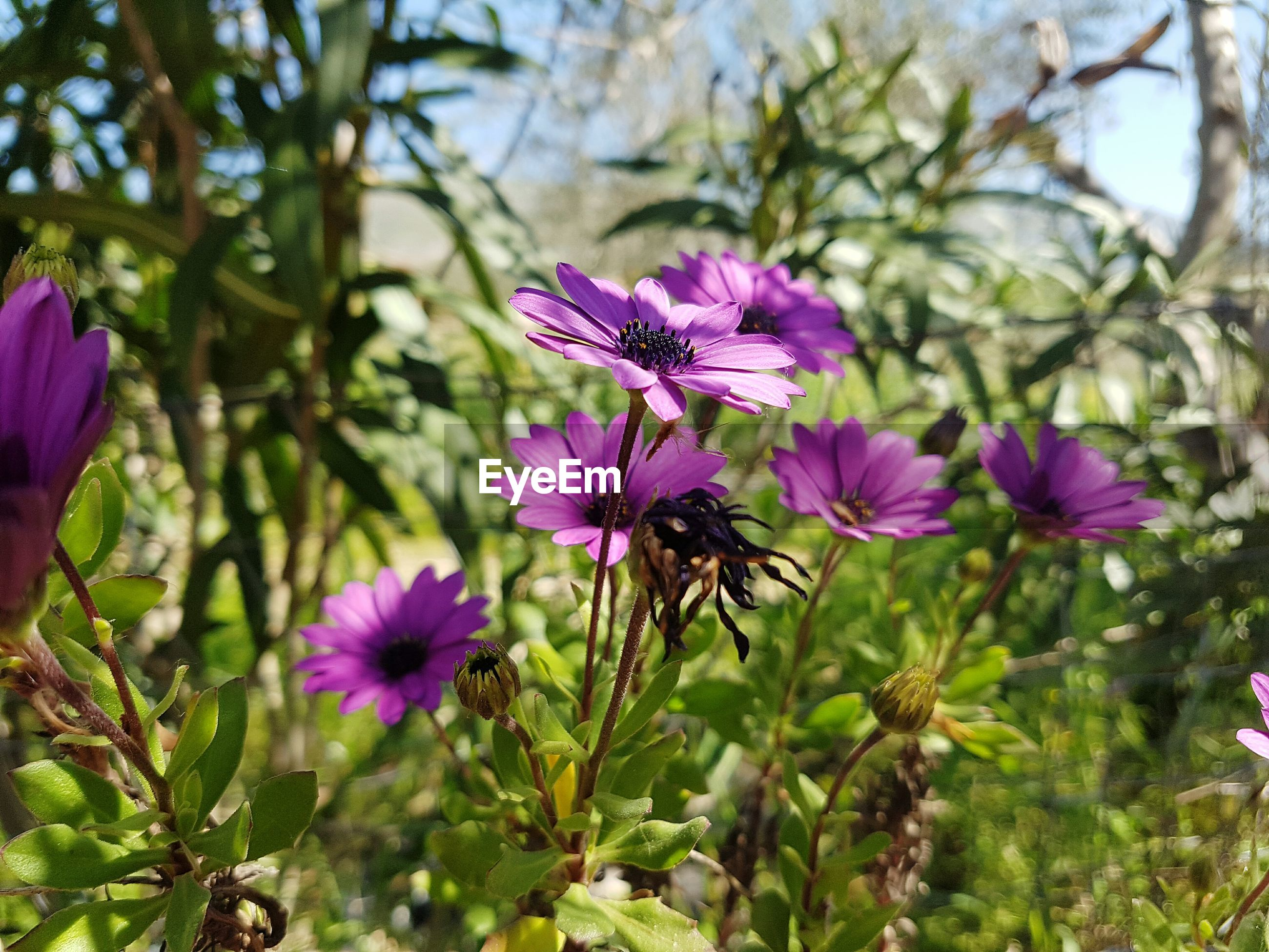 flower, purple, freshness, growth, fragility, focus on foreground, beauty in nature, plant, nature, petal, close-up, pink color, blooming, stem, flower head, day, in bloom, outdoors, blossom, no people