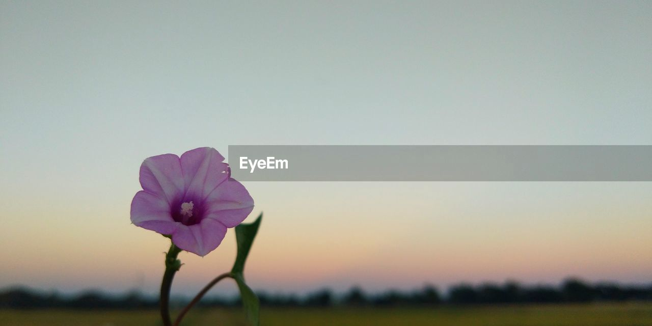 Close-Up Of Purple Flowering Plant On Field Against Clear Sky
