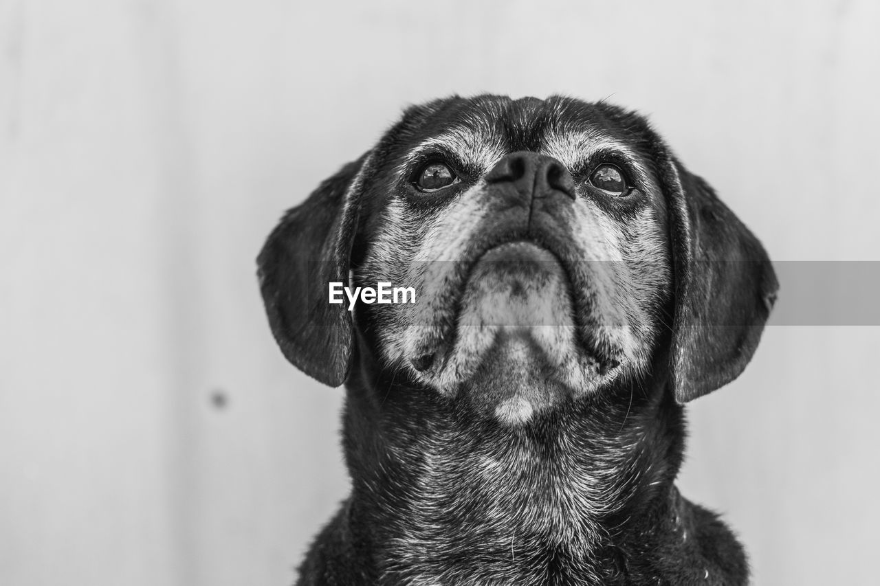 one animal, animal themes, mammal, animal, dog, pets, canine, domestic, close-up, domestic animals, vertebrate, looking, animal head, animal body part, looking away, no people, indoors, focus on foreground, portrait, pug, animal eye, snout, animal nose