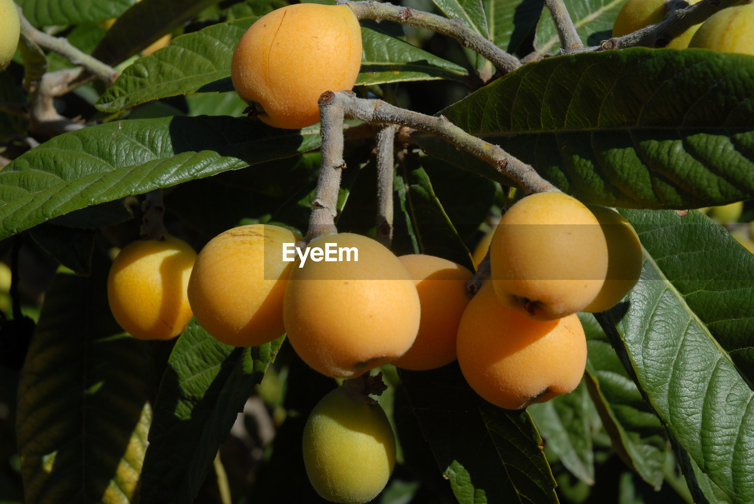 CLOSE-UP OF ORANGES GROWING ON PLANT