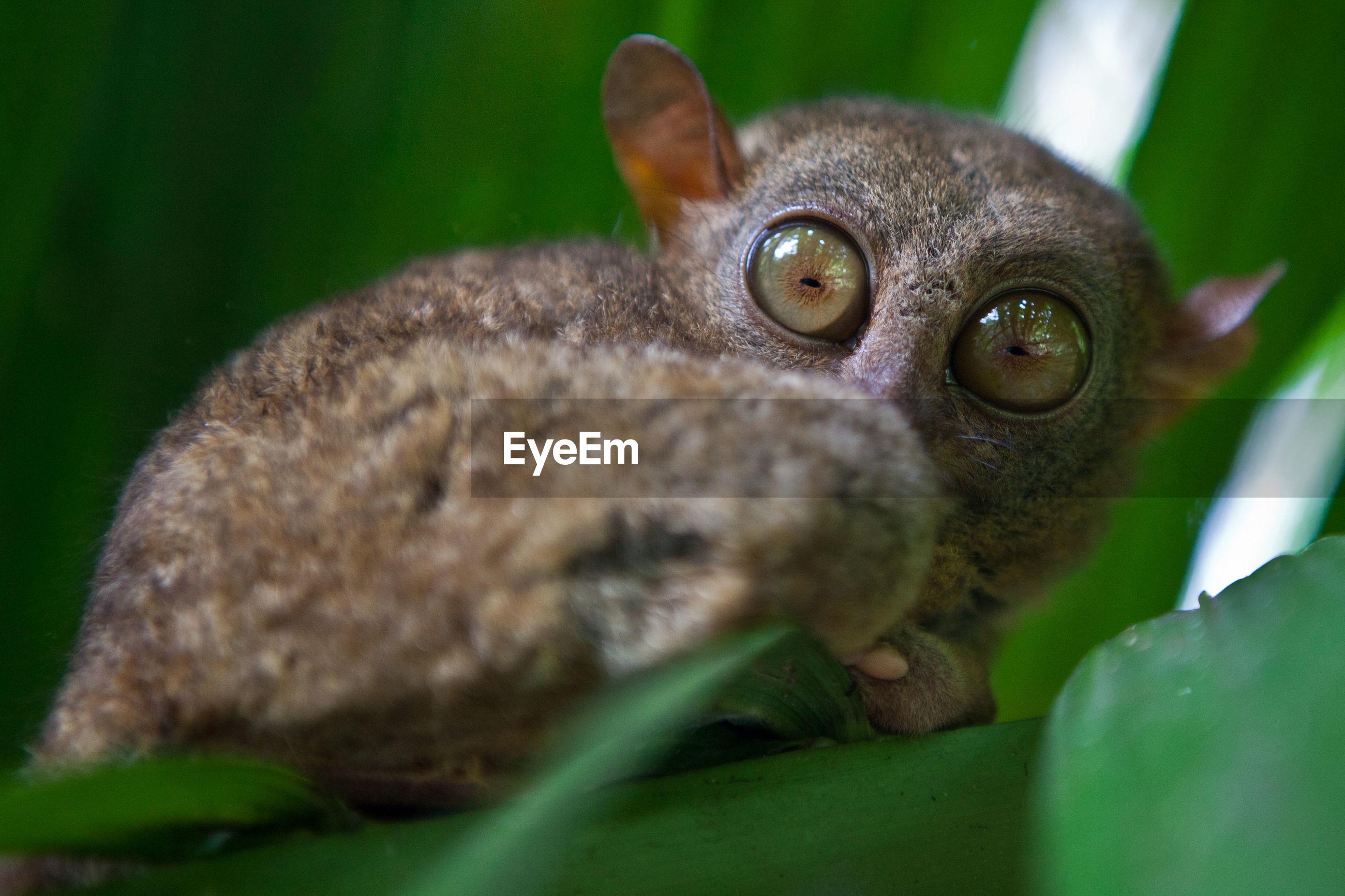 Close-up of tarsier