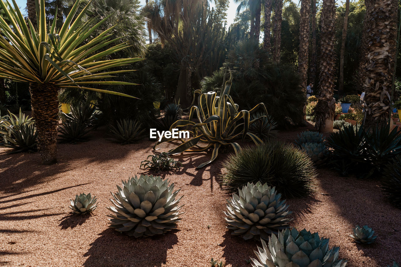 plant, growth, tree, nature, succulent plant, cactus, day, no people, spiked, thorn, beauty in nature, sharp, land, barrel cactus, tranquility, sunlight, green color, outdoors, field, tranquil scene, needle - plant part