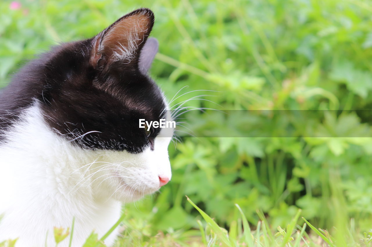 cat, animal themes, pets, animal, feline, domestic, mammal, domestic cat, one animal, domestic animals, vertebrate, plant, grass, no people, green color, nature, focus on foreground, whisker, close-up, animal body part, animal head