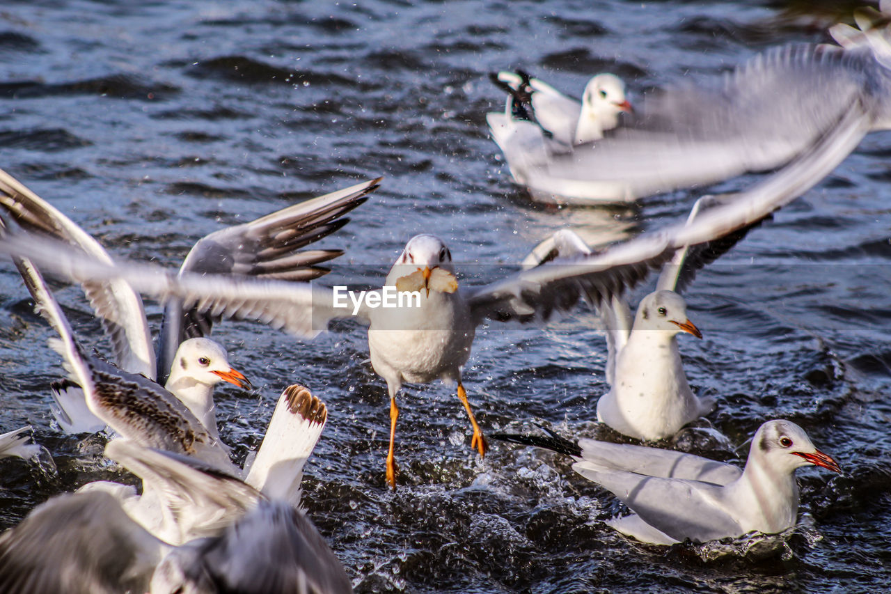 bird, group of animals, animal, animal themes, vertebrate, animals in the wild, animal wildlife, water, medium group of animals, nature, day, lake, young animal, no people, young bird, white color, water bird, flock of birds, outdoors, animal family, seagull