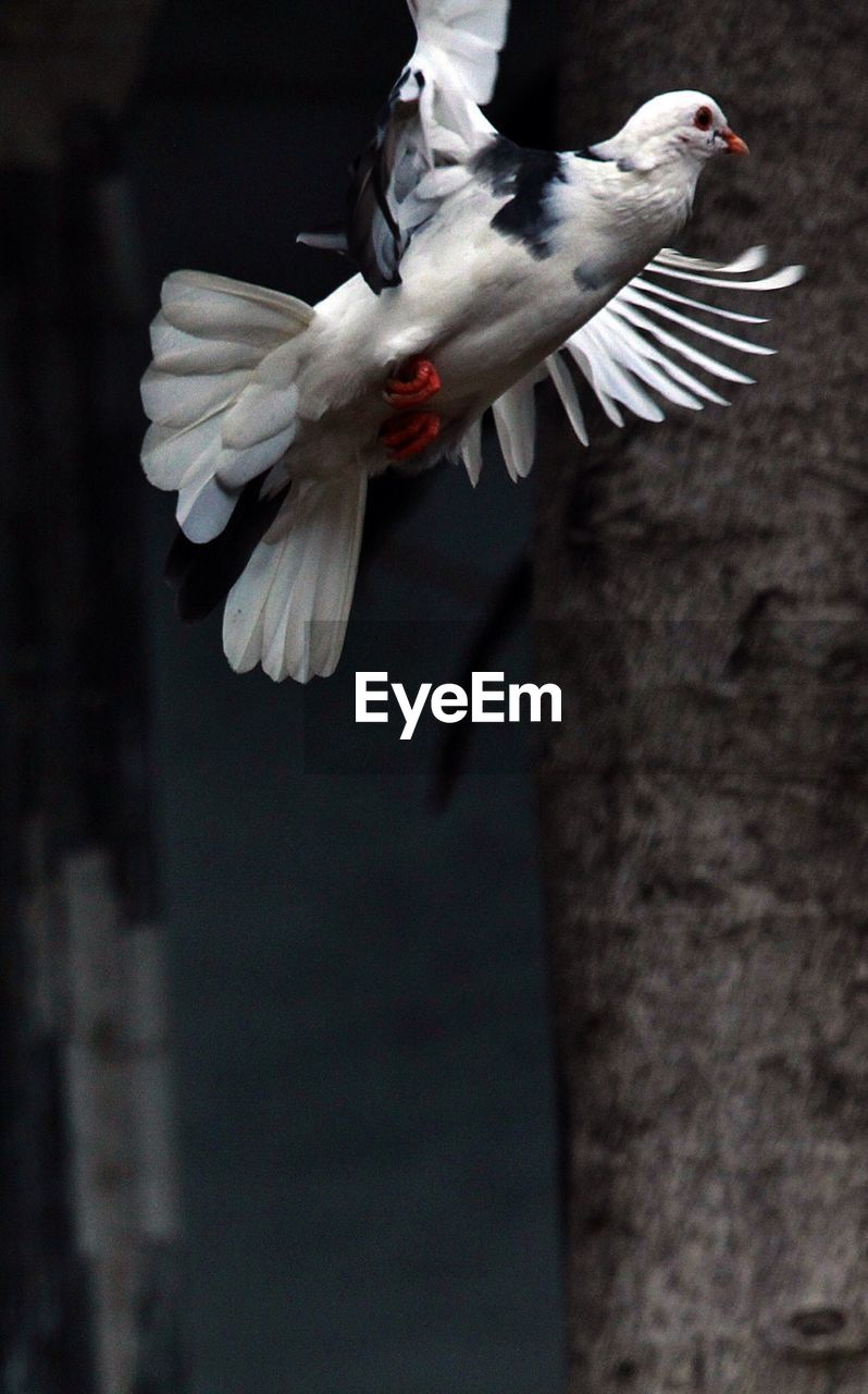Low Angle View Of Pigeon Flying In Mid-Air