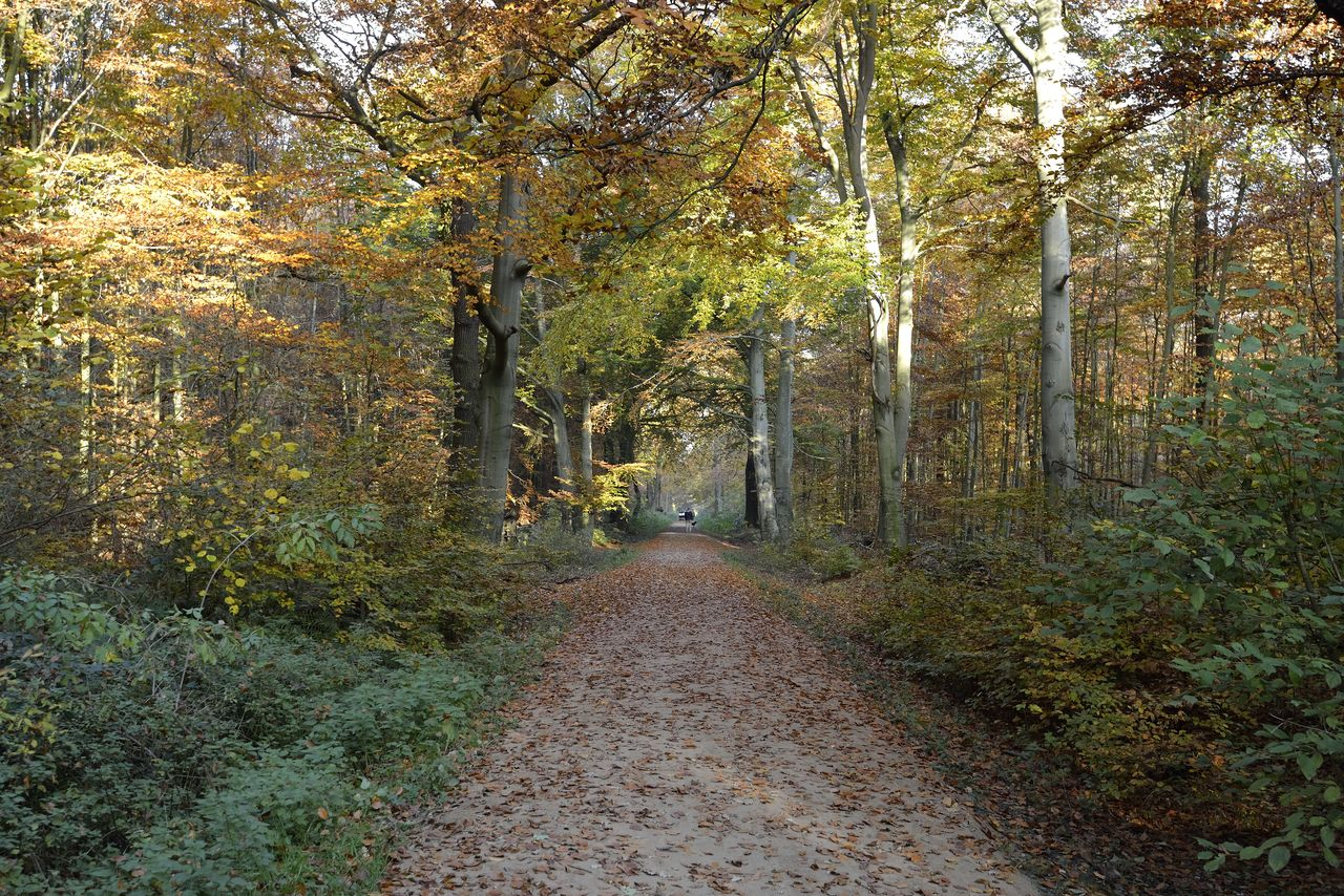 tree, plant, autumn, forest, direction, land, the way forward, nature, tranquility, no people, footpath, change, beauty in nature, day, plant part, road, leaf, growth, non-urban scene, woodland, outdoors