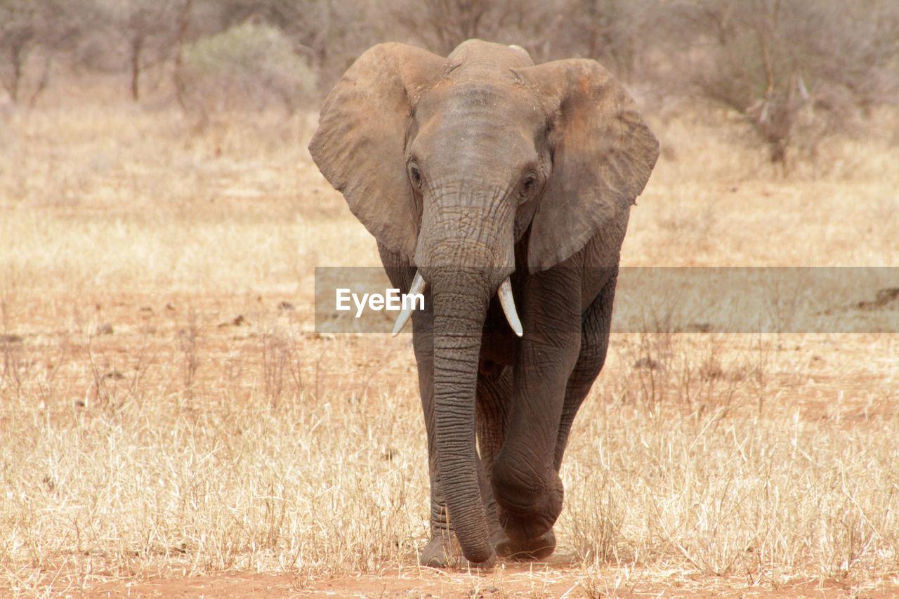 animal themes, animal, animals in the wild, elephant, animal wildlife, mammal, one animal, african elephant, plant, walking, vertebrate, no people, animal body part, day, landscape, safari, front view, nature, grass, outdoors, herbivorous, animal trunk