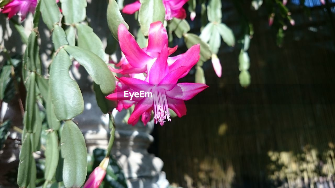 fragility, flower, pink color, nature, petal, freshness, beauty in nature, growth, outdoors, focus on foreground, day, close-up, no people, plant, flower head, water, blooming