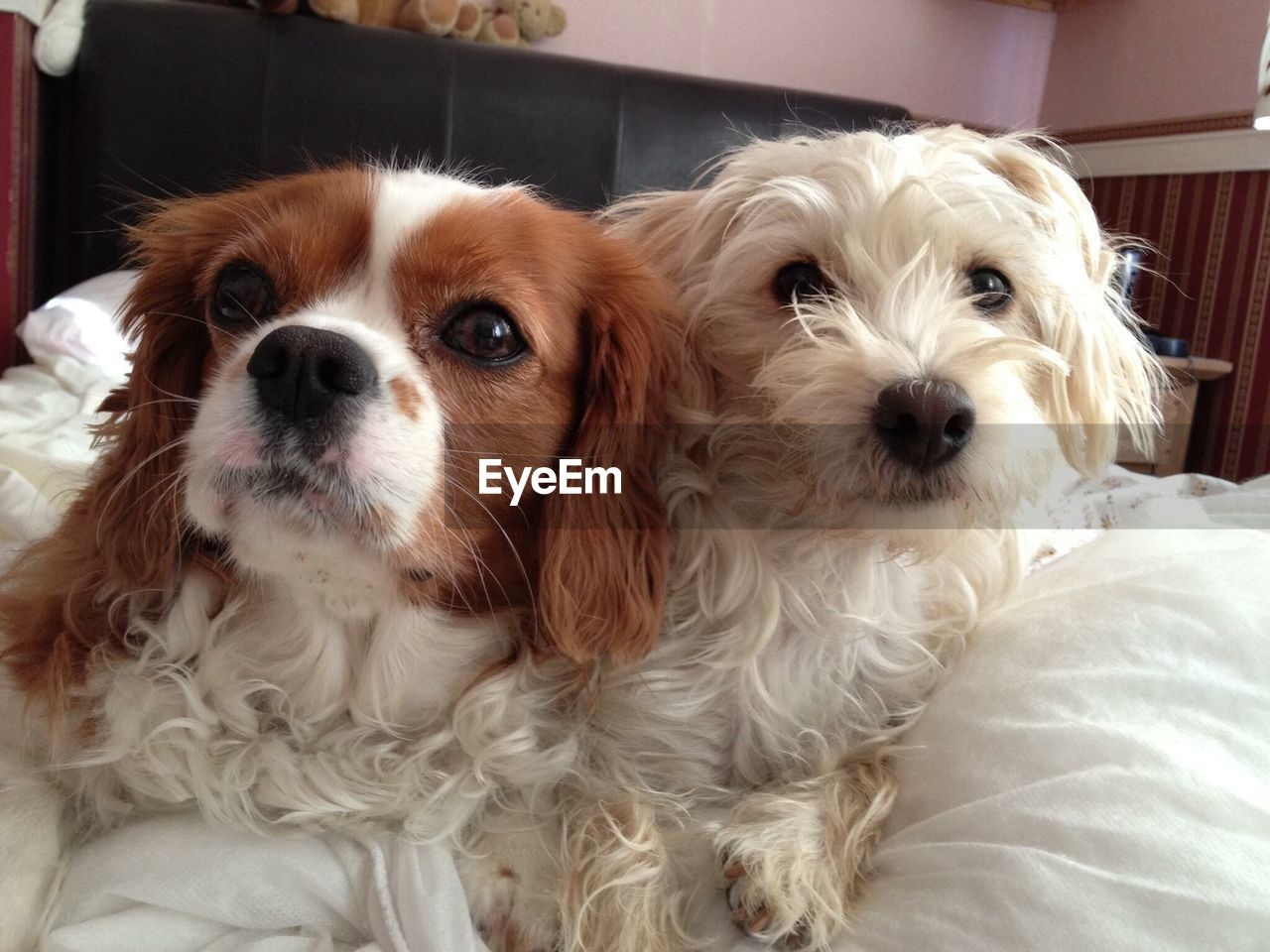 dog, pets, domestic animals, mammal, animal themes, one animal, looking at camera, indoors, home interior, portrait, no people, relaxation, close-up, day