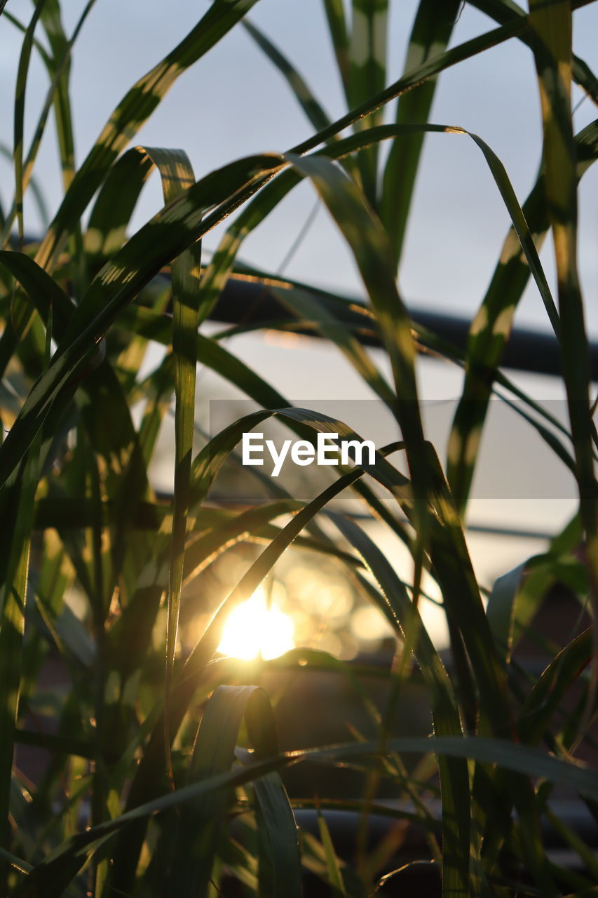 sunlight, plant, nature, no people, close-up, growth, focus on foreground, sky, day, beauty in nature, sun, outdoors, selective focus, tranquility, lens flare, sunset, grass, sunny, leaf, tree, blade of grass