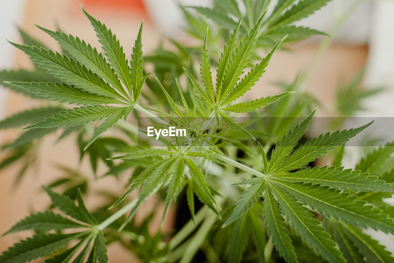 green color, plant, growth, leaf, plant part, close-up, herb, selective focus, nature, beauty in nature, no people, marijuana - herbal cannabis, day, focus on foreground, food, food and drink, outdoors, freshness, narcotic, cannabis plant