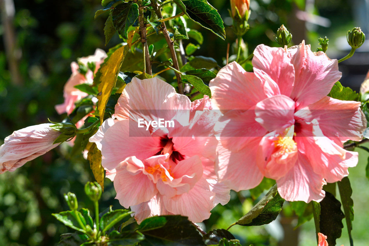 flowering plant, flower, petal, freshness, plant, fragility, beauty in nature, growth, vulnerability, flower head, inflorescence, close-up, pink color, day, nature, pollen, focus on foreground, no people, botany, sunlight, springtime, outdoors