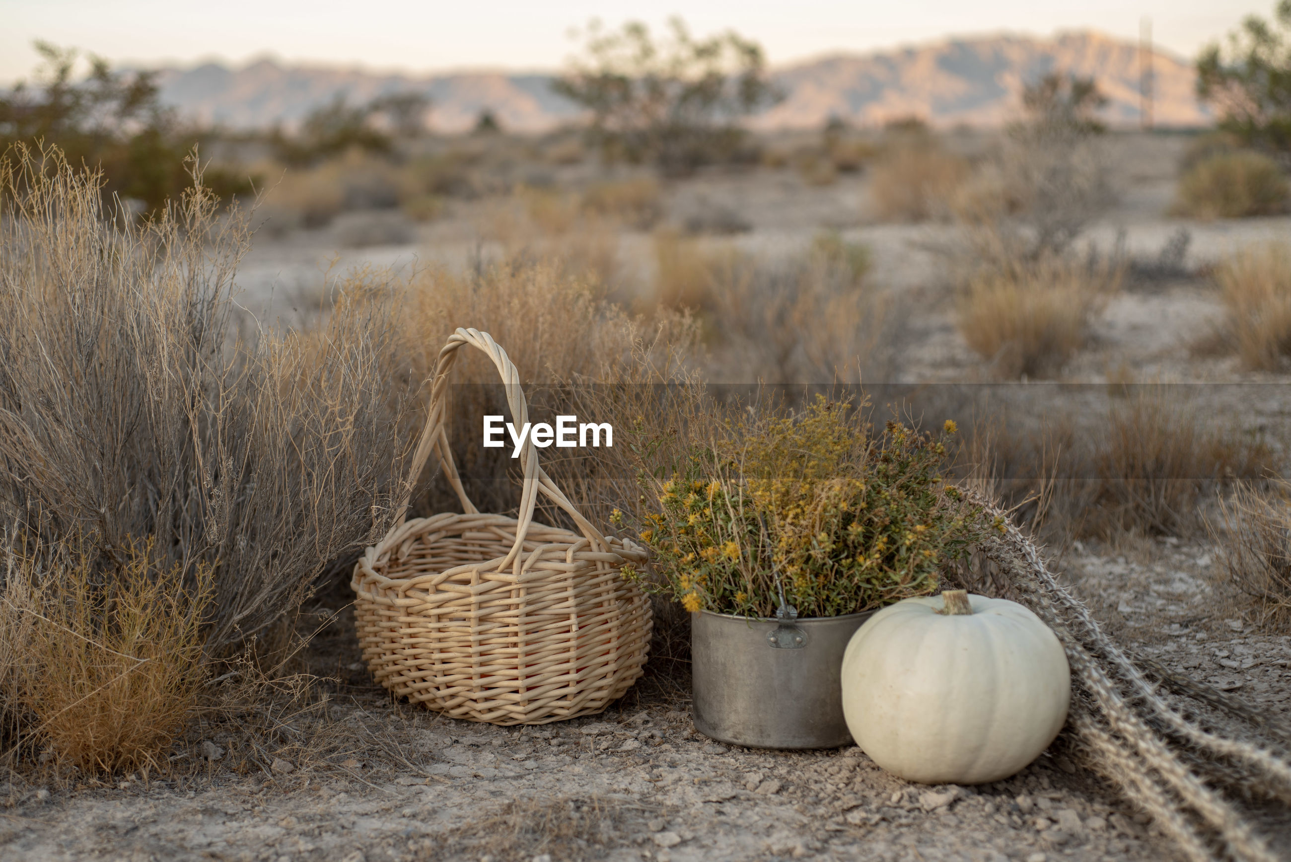 White pumpkin, dried cactus, basket in mojave desert autumn desert plants and earth colors