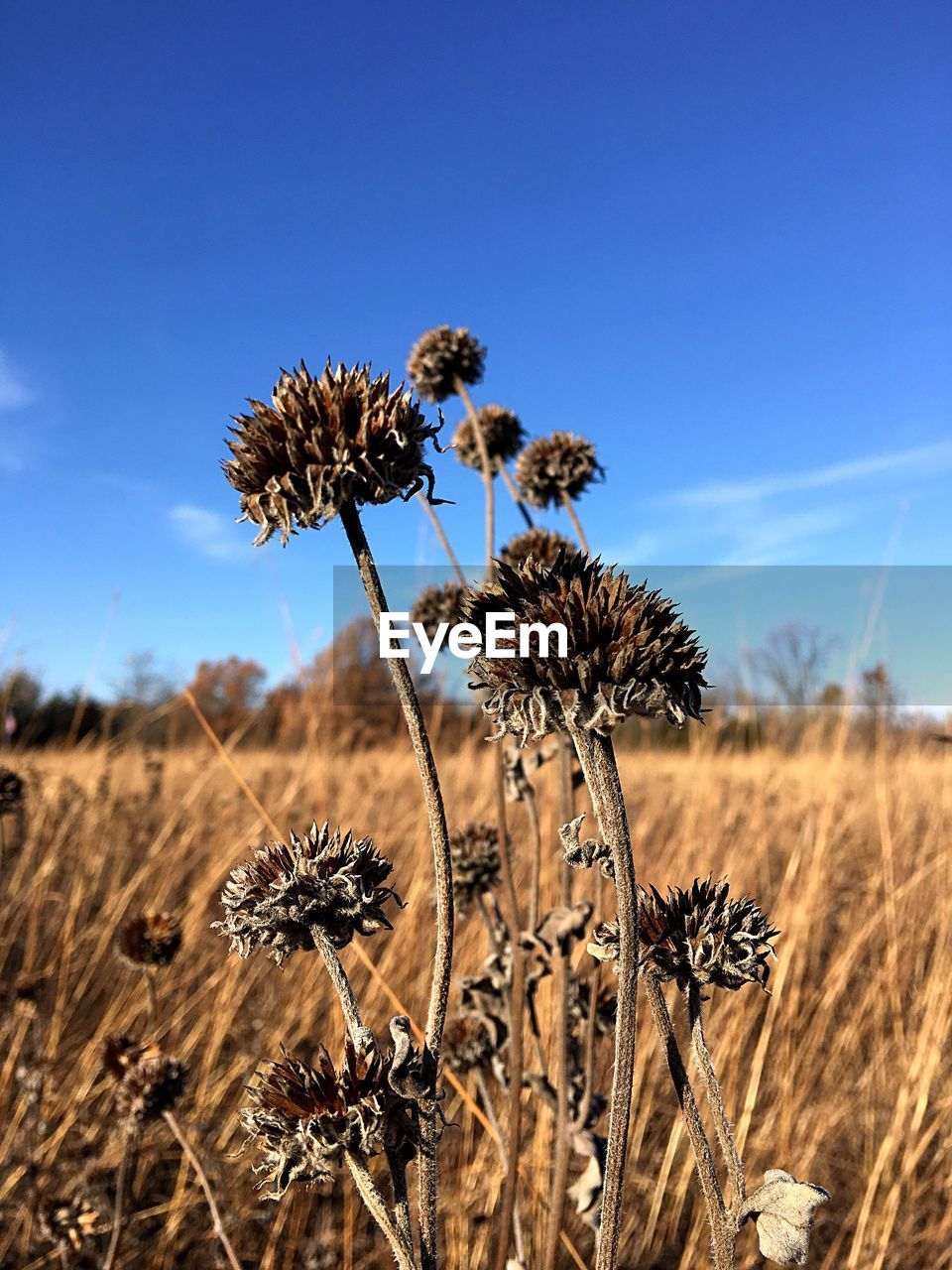 flower, nature, field, fragility, growth, plant, beauty in nature, dried plant, flower head, outdoors, day, focus on foreground, no people, tranquility, blue, rural scene, sky, thistle, close-up, freshness
