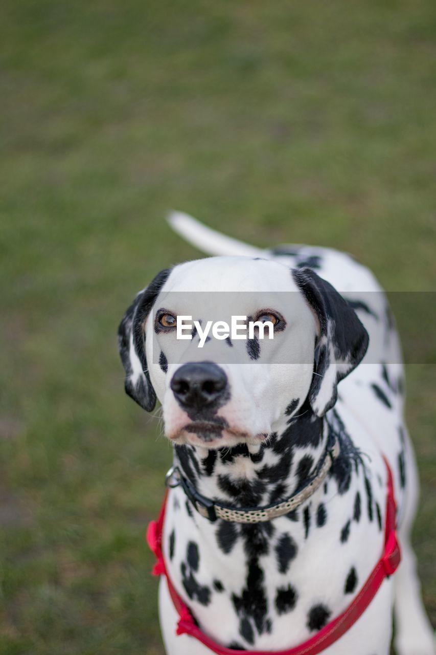 High Angle View Of Dalmatian Dog