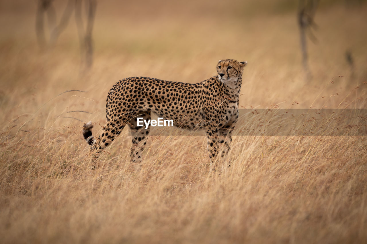 Cheetah on grassy field during sunny day