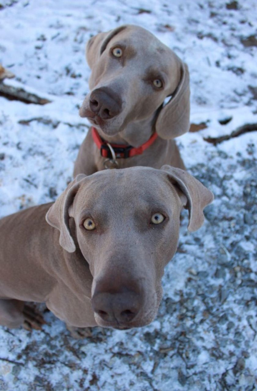 canine, dog, domestic, domestic animals, mammal, pets, animal themes, one animal, animal, snow, vertebrate, weimaraner, portrait, winter, looking at camera, cold temperature, day, animal head