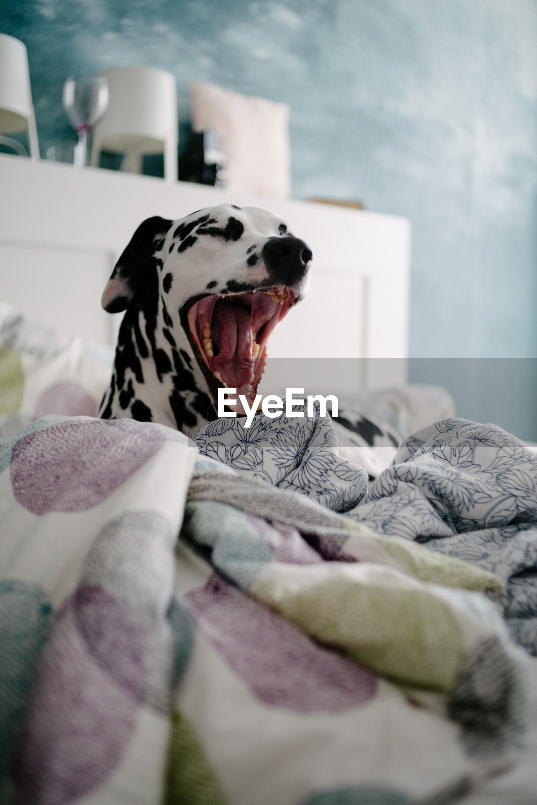 Close-up of dog yawning while lying on bed at home
