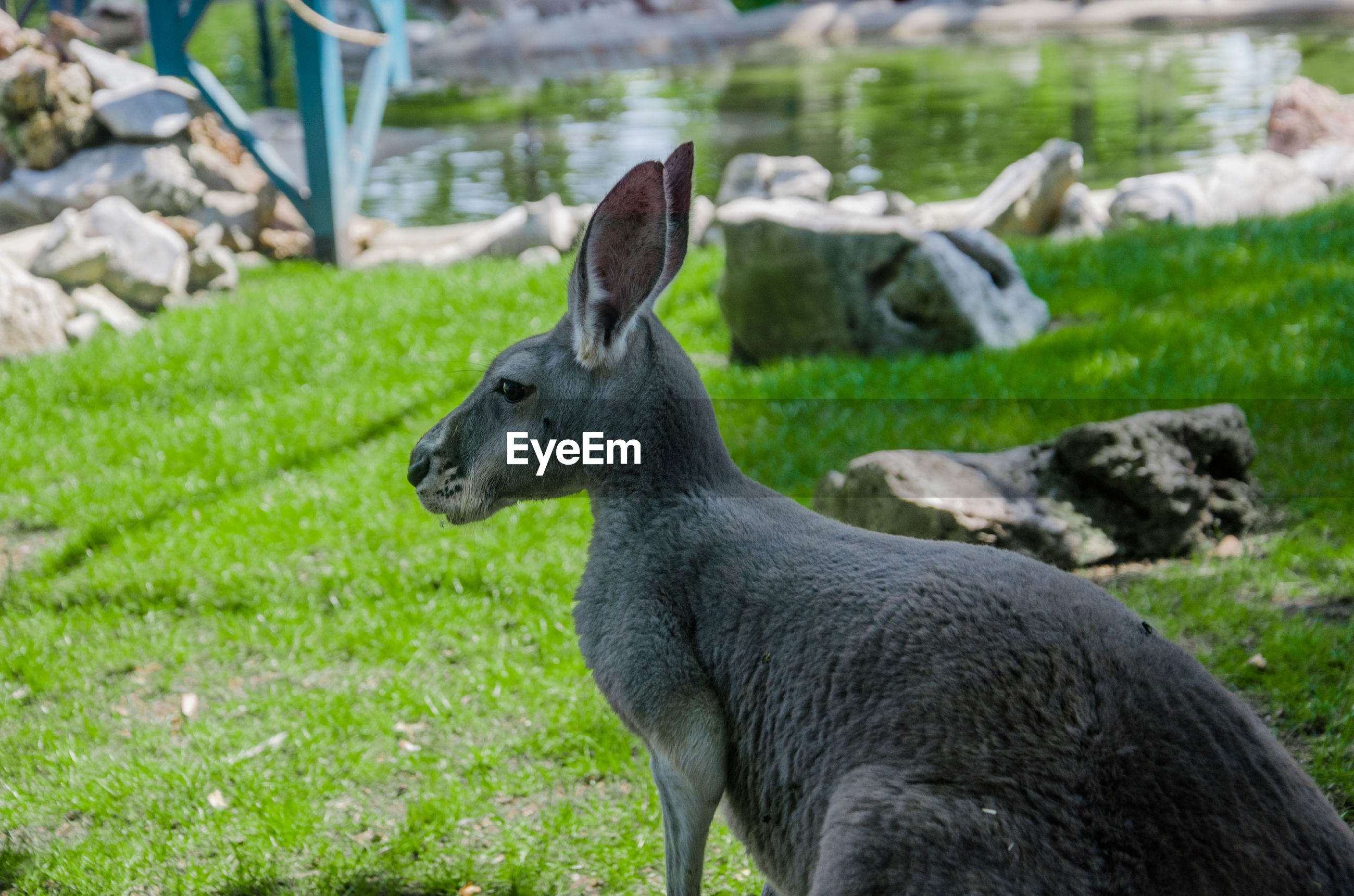 Side view of kangaroo on field