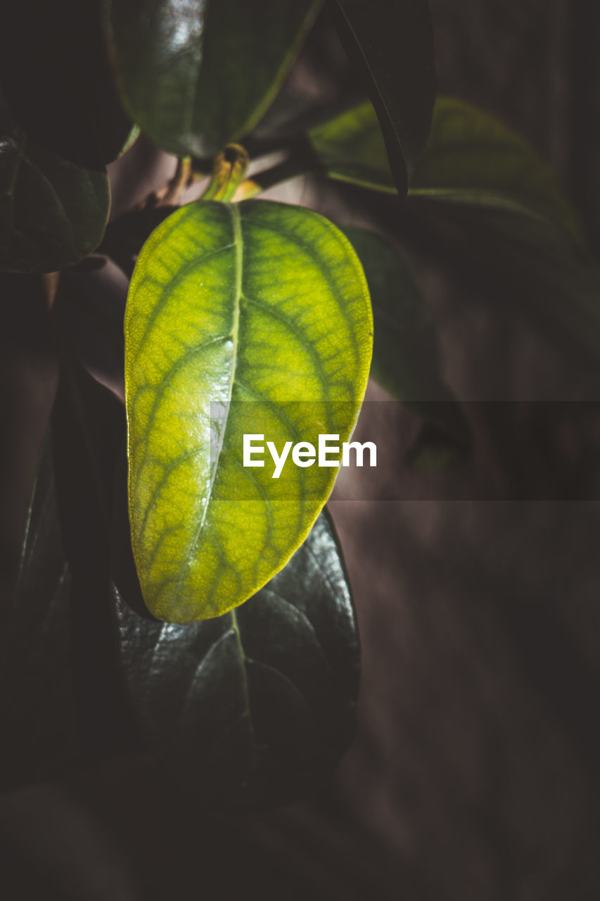 plant part, leaf, close-up, nature, green color, no people, beauty in nature, plant, growth, day, leaf vein, focus on foreground, natural pattern, yellow, outdoors, sunlight, freshness, leaves, selective focus, pattern